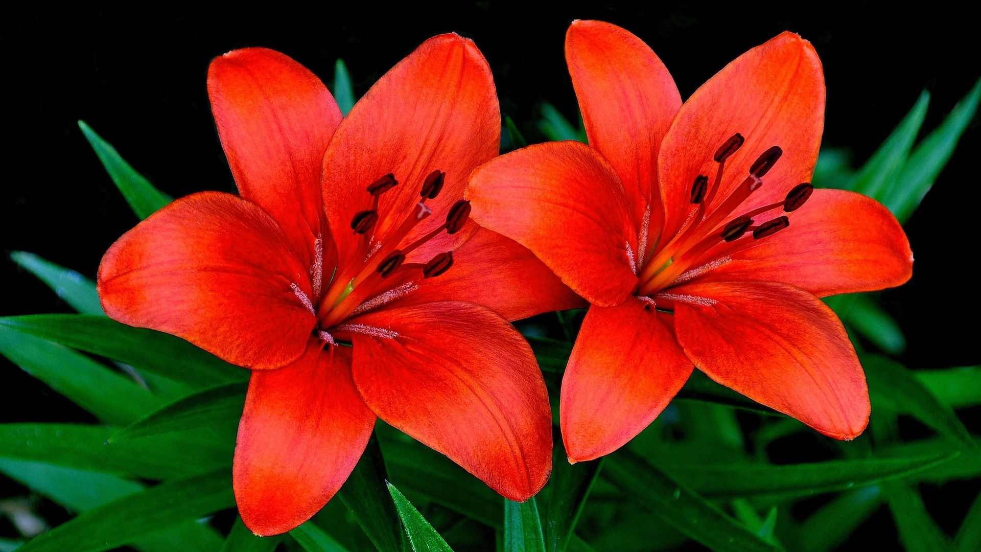 лилии, крупным планом, красный, цветы