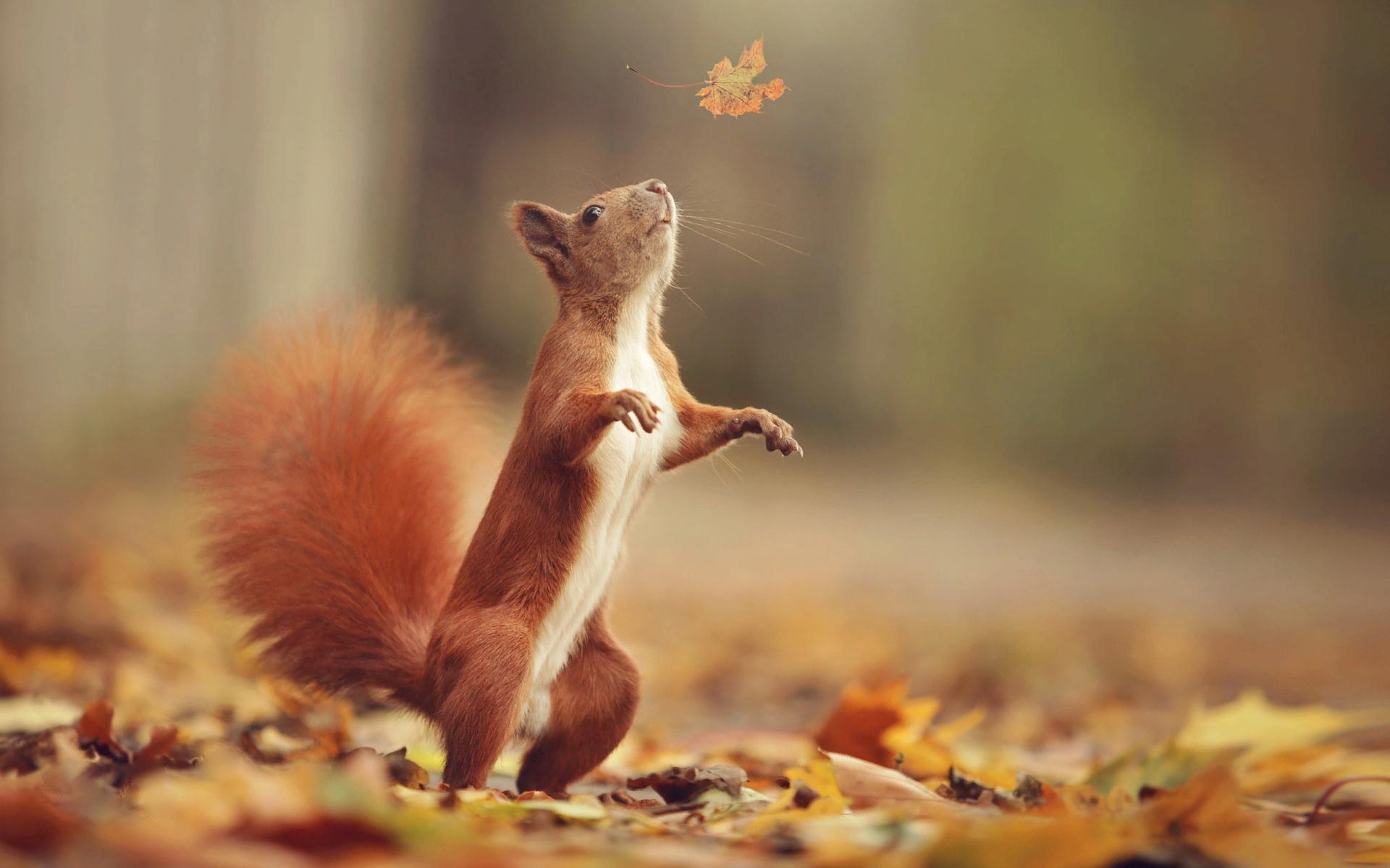 ahmed hanjoul, животное, грызун, зверёк, белка, стойка, природа, осень, лист