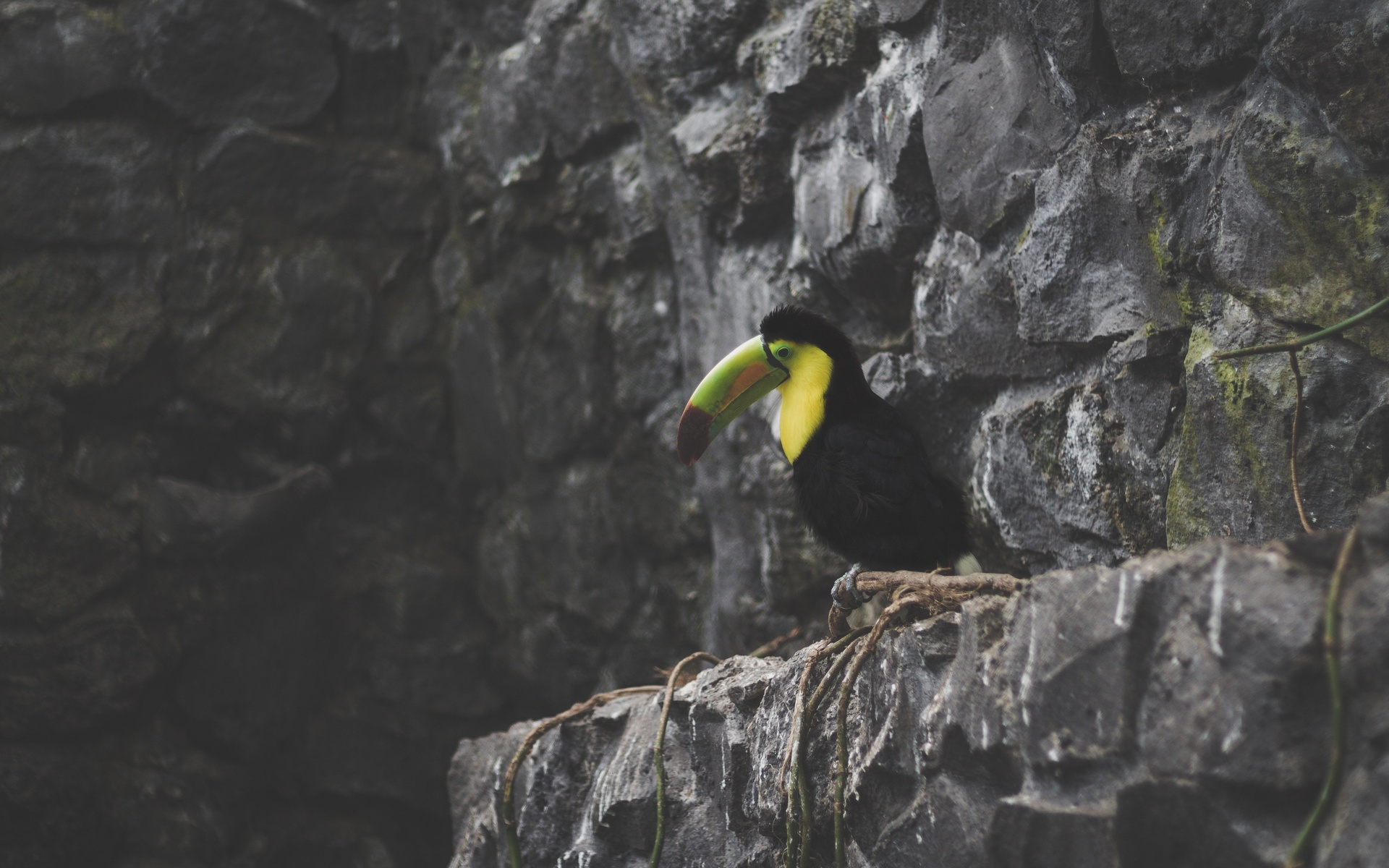 тукан, скалы, птица
