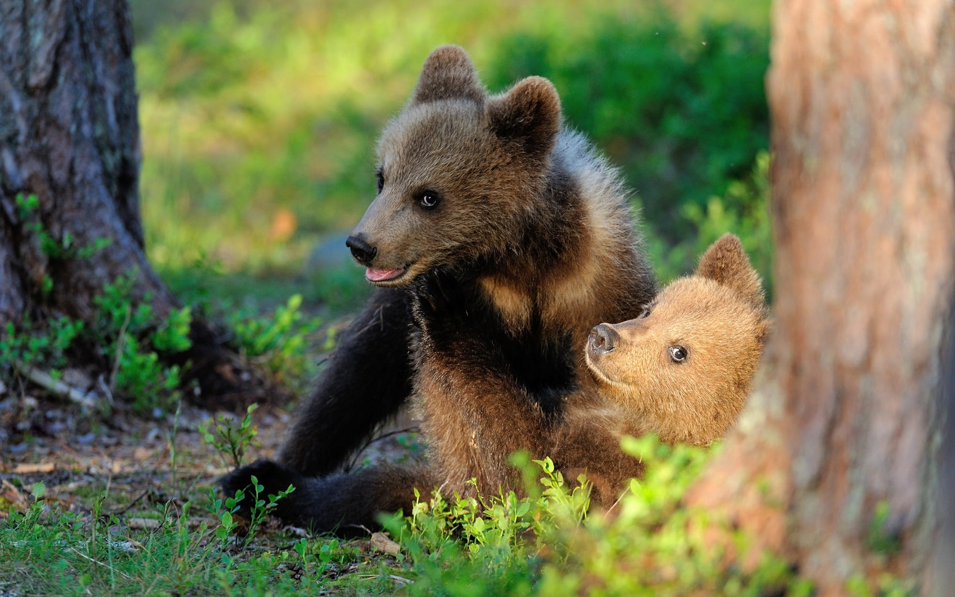 животные, хищники, медвежата, детёныши, пара, природа, трава, деревья, стволы
