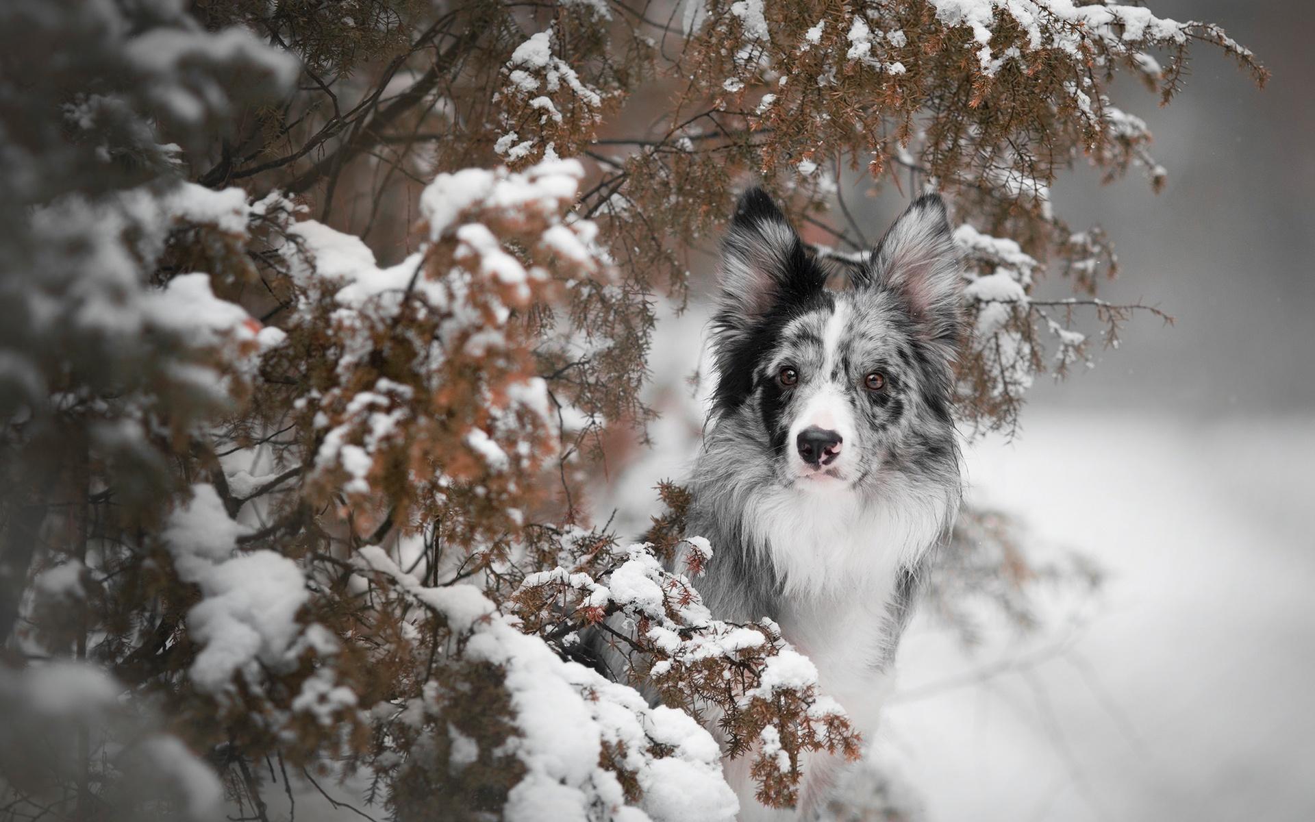 животное, собака, пёс, бордер-колли, морда, природа, зима, снег, ветки