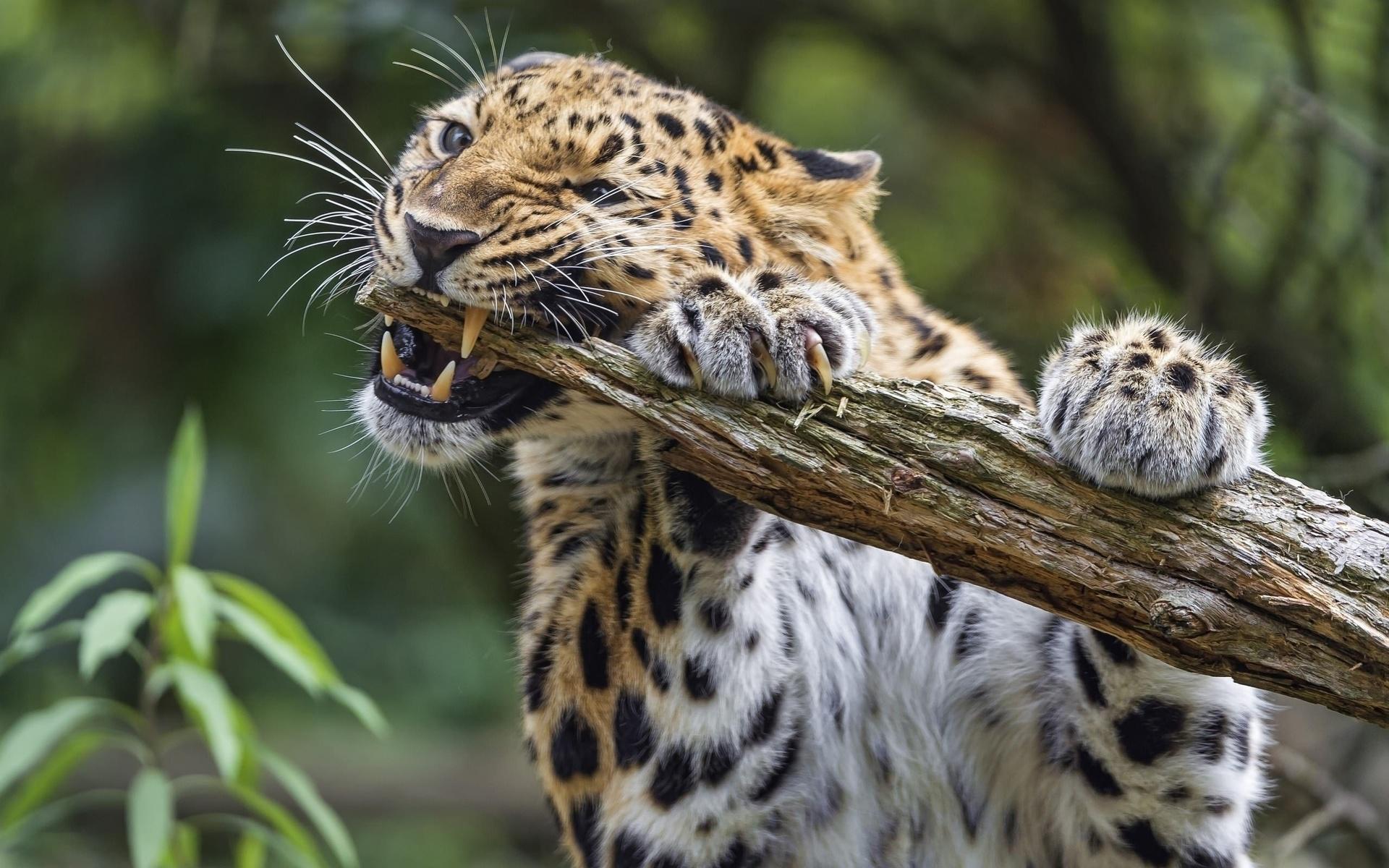 леопард, хищник, животные, дикая кошка, клыки
