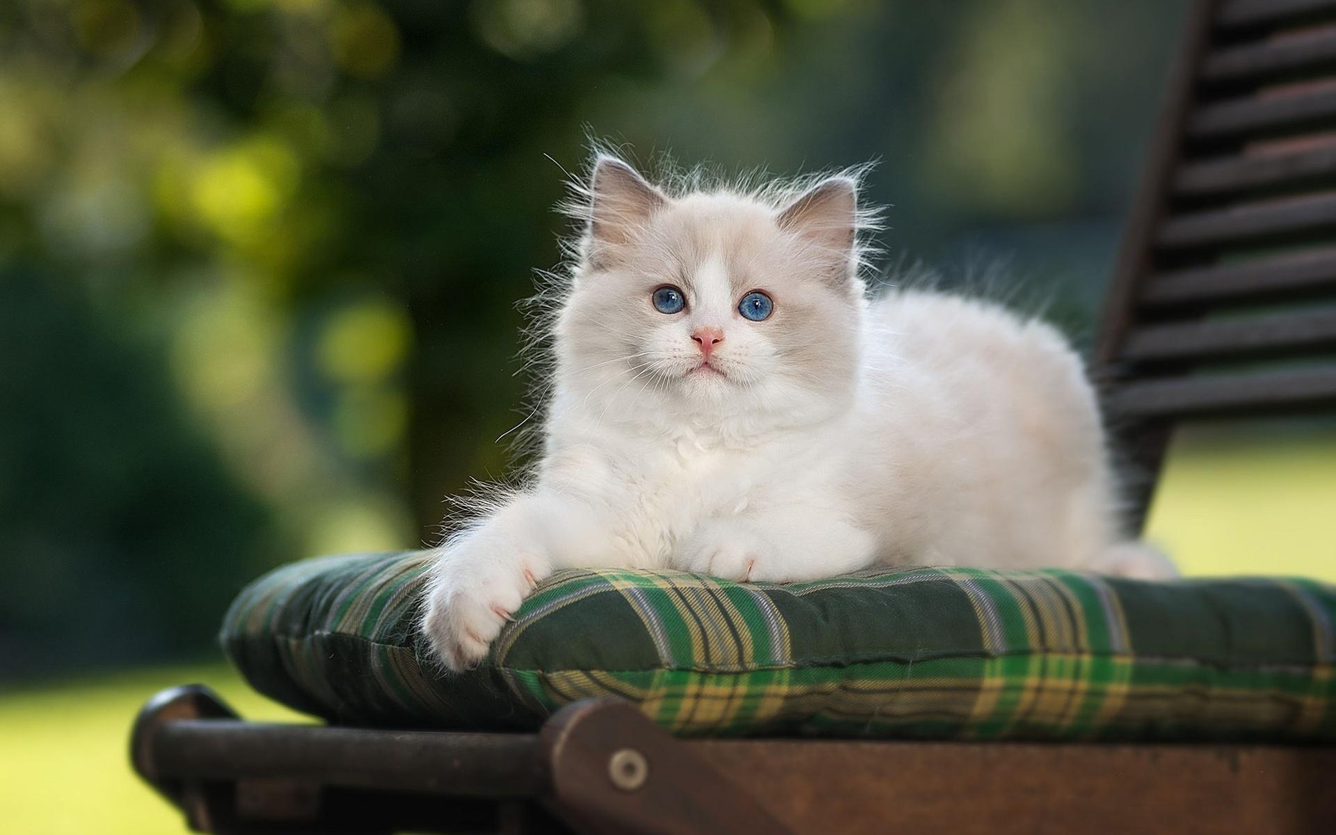 животное, кот, кошка, рэгдолл, стул, подушка
