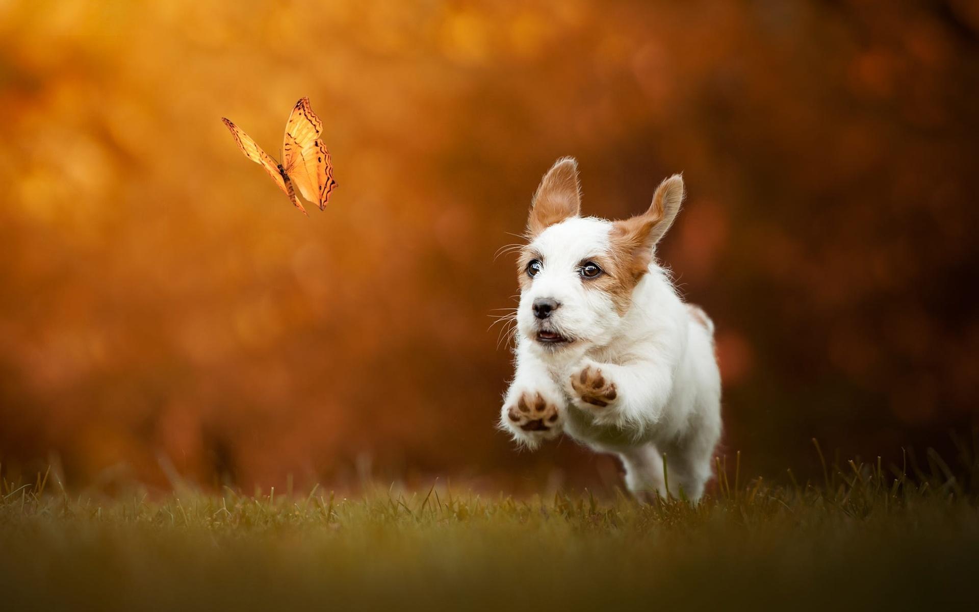 животное, собака, щенок, детёныш, бег, бабочка, трава, боке, джек-рассел, терьер
