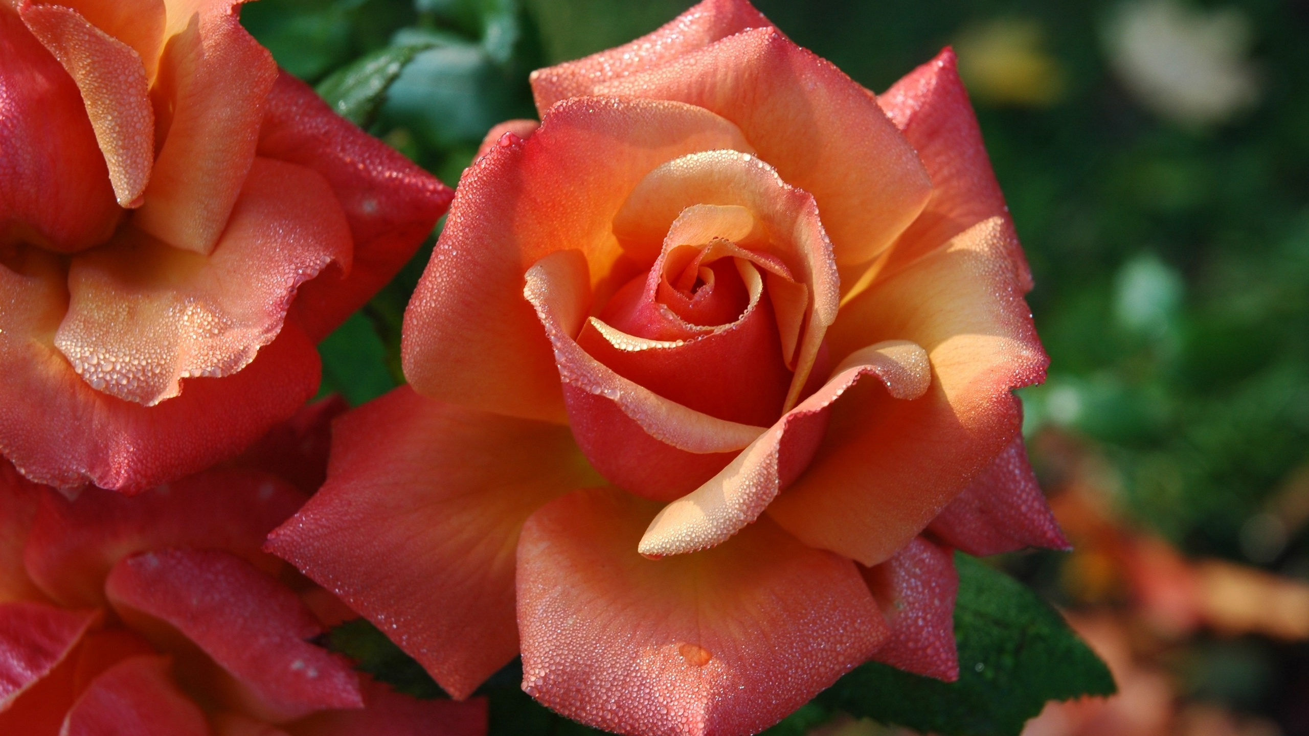 цветы, розы, капли, вода, макро