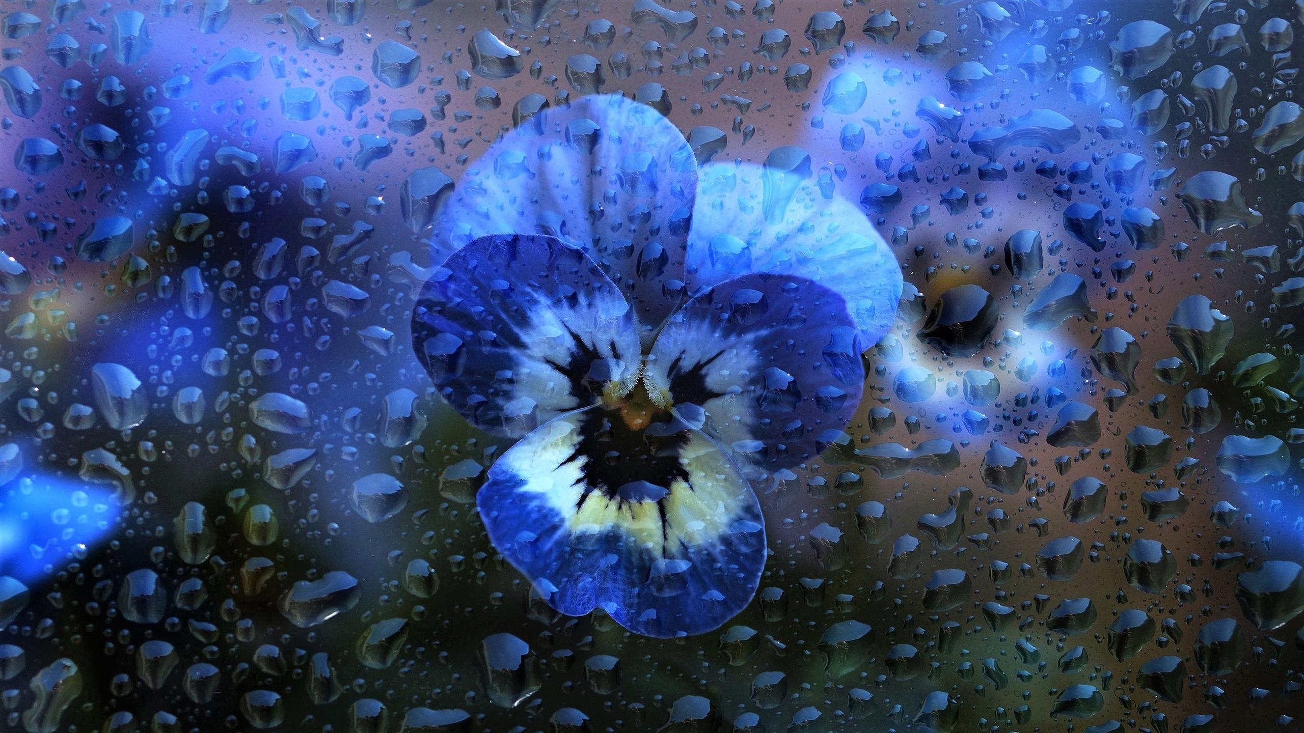 стекло, вода, капли, макро, цветы, голубые, анютины глазки