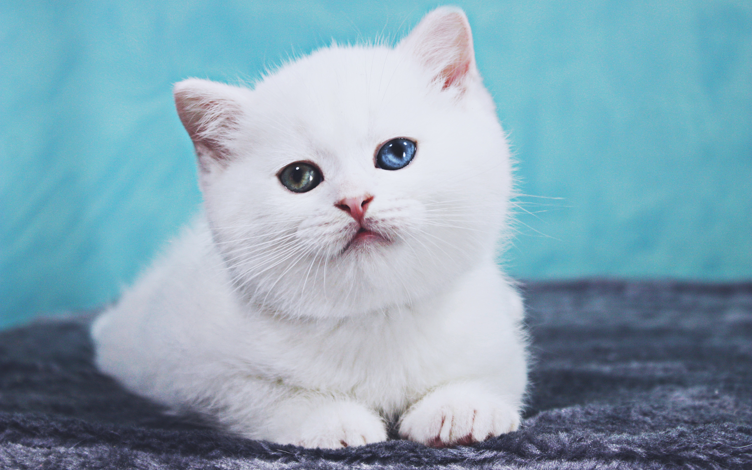 white, british shorthair, cat