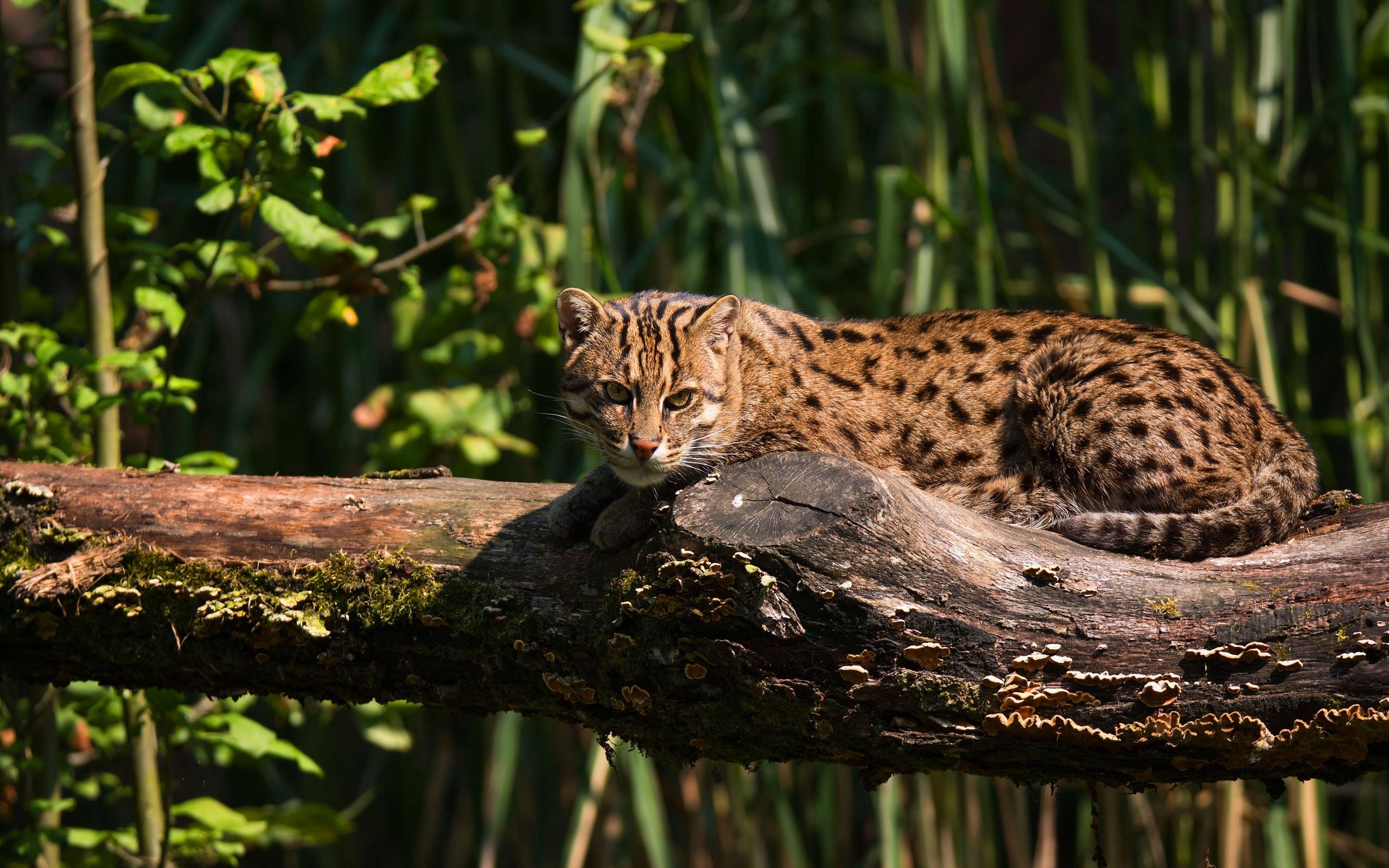 трава, кот, взгляд, свет, поза, лежит, бревно, дикий кот, рыболов, кот-рыболов, животные
