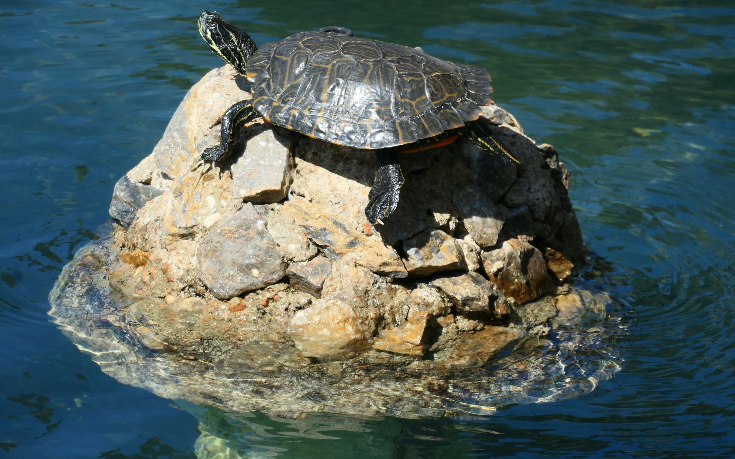 водо, камень, черепаха