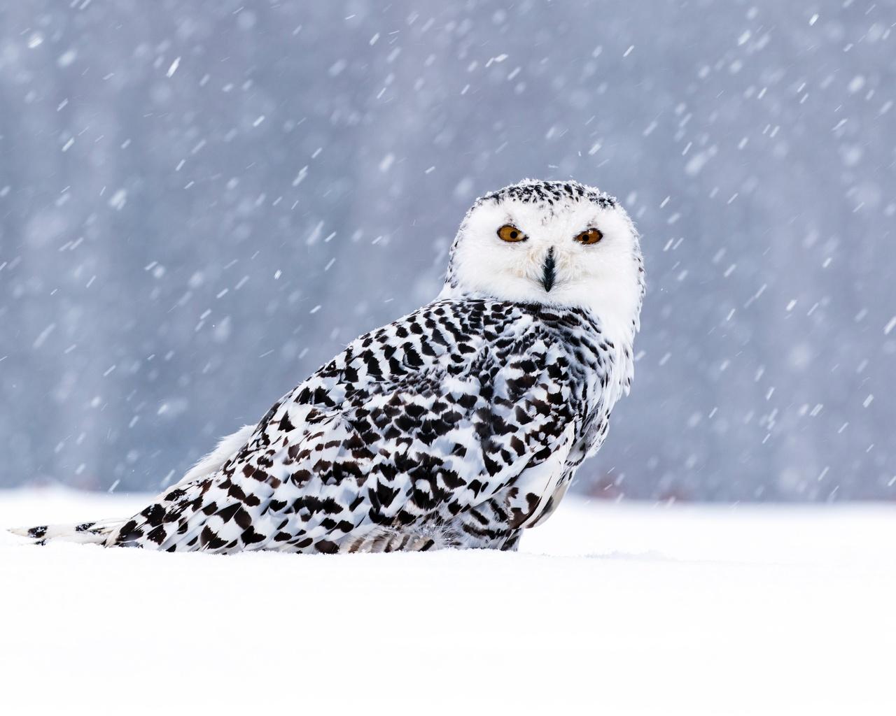 сова, снег, птица, зима