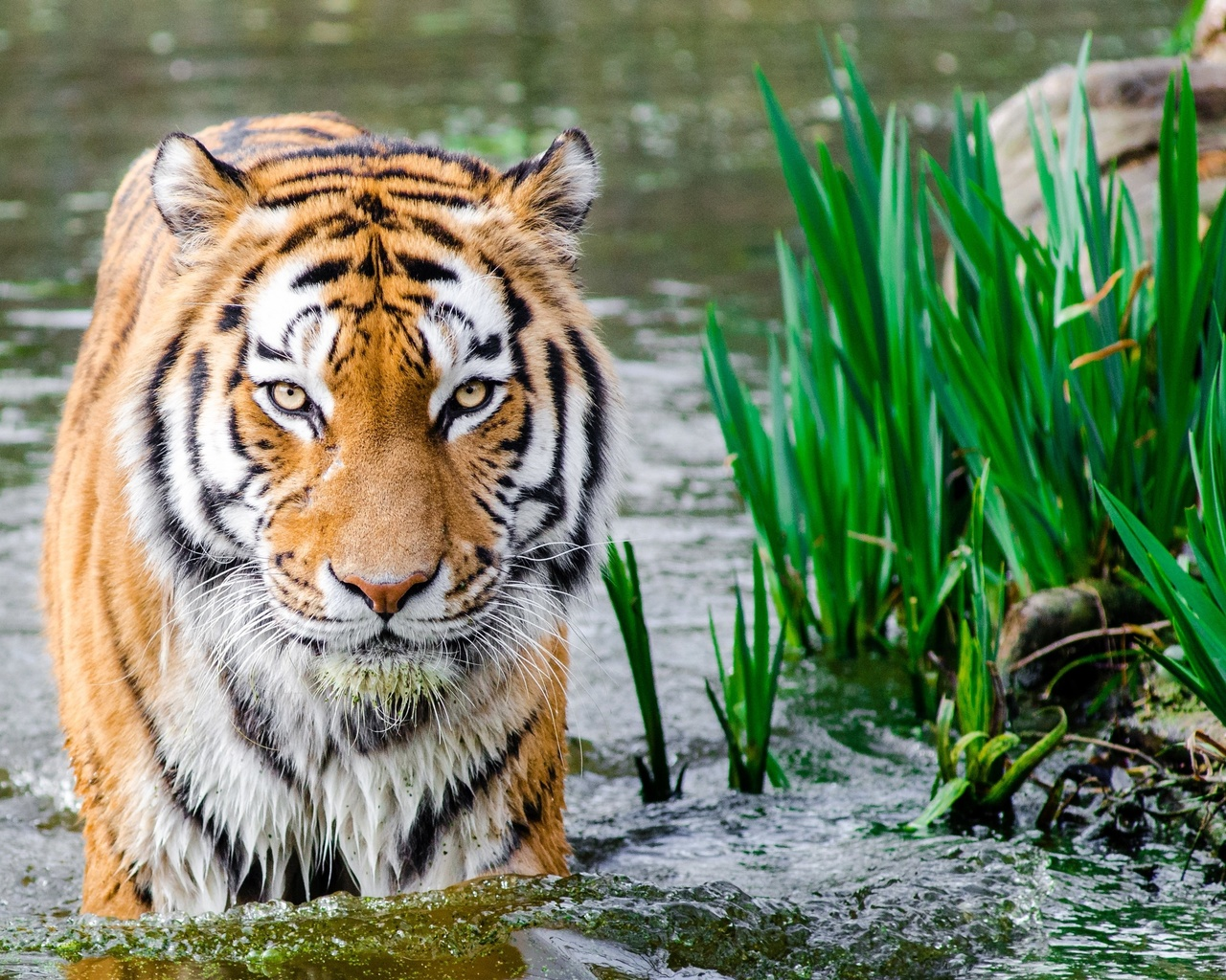 тигр, зверь, животные, трава