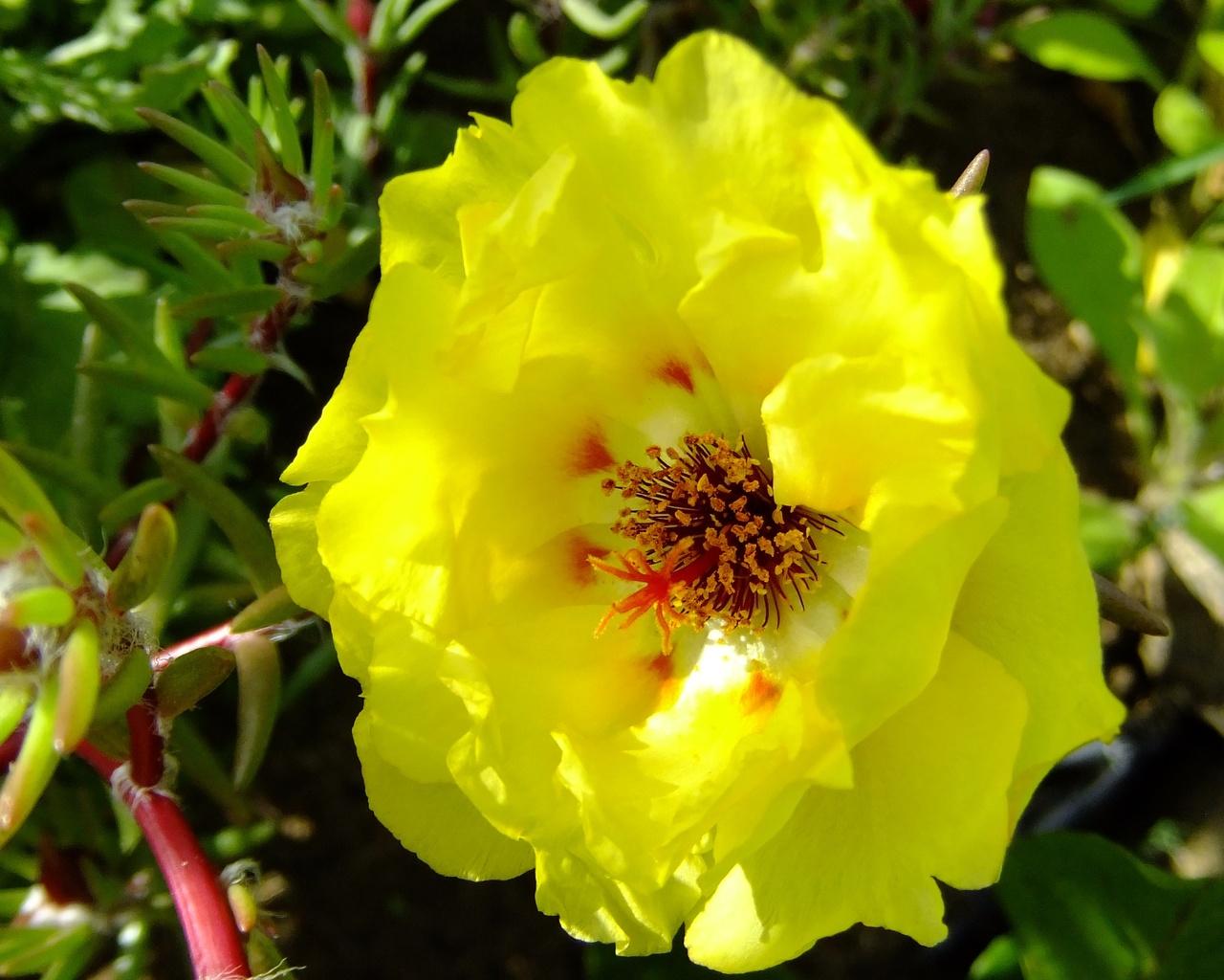 портулак, сад, желтый