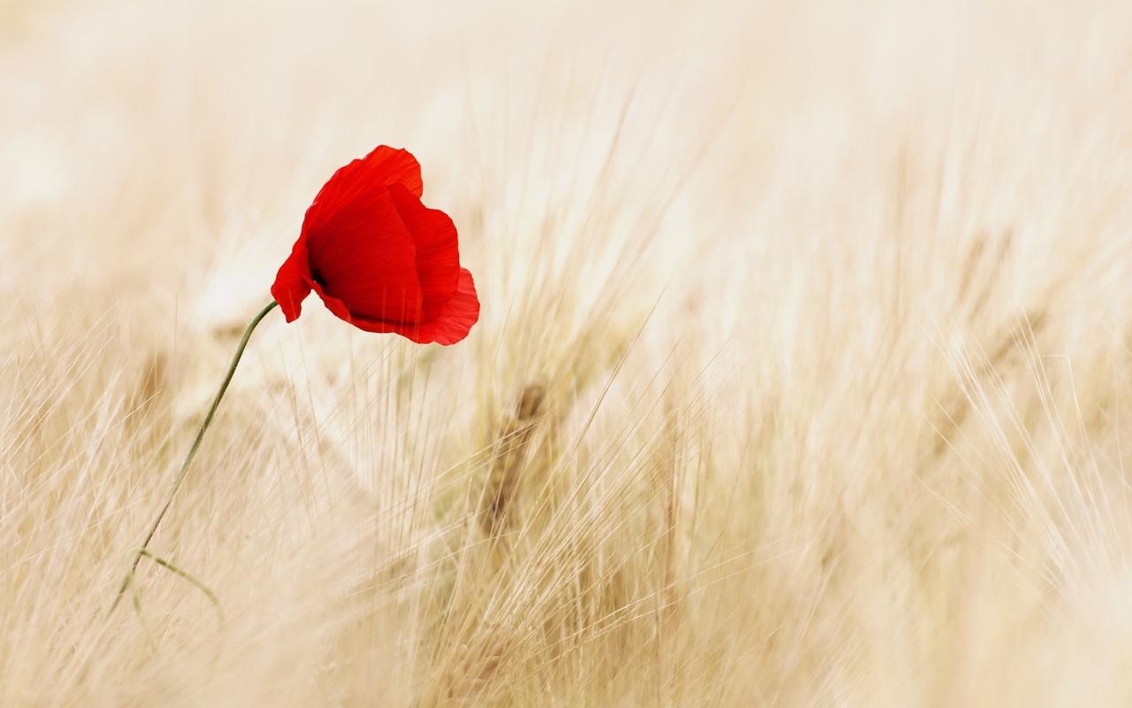 поле, злаки, мак, красный