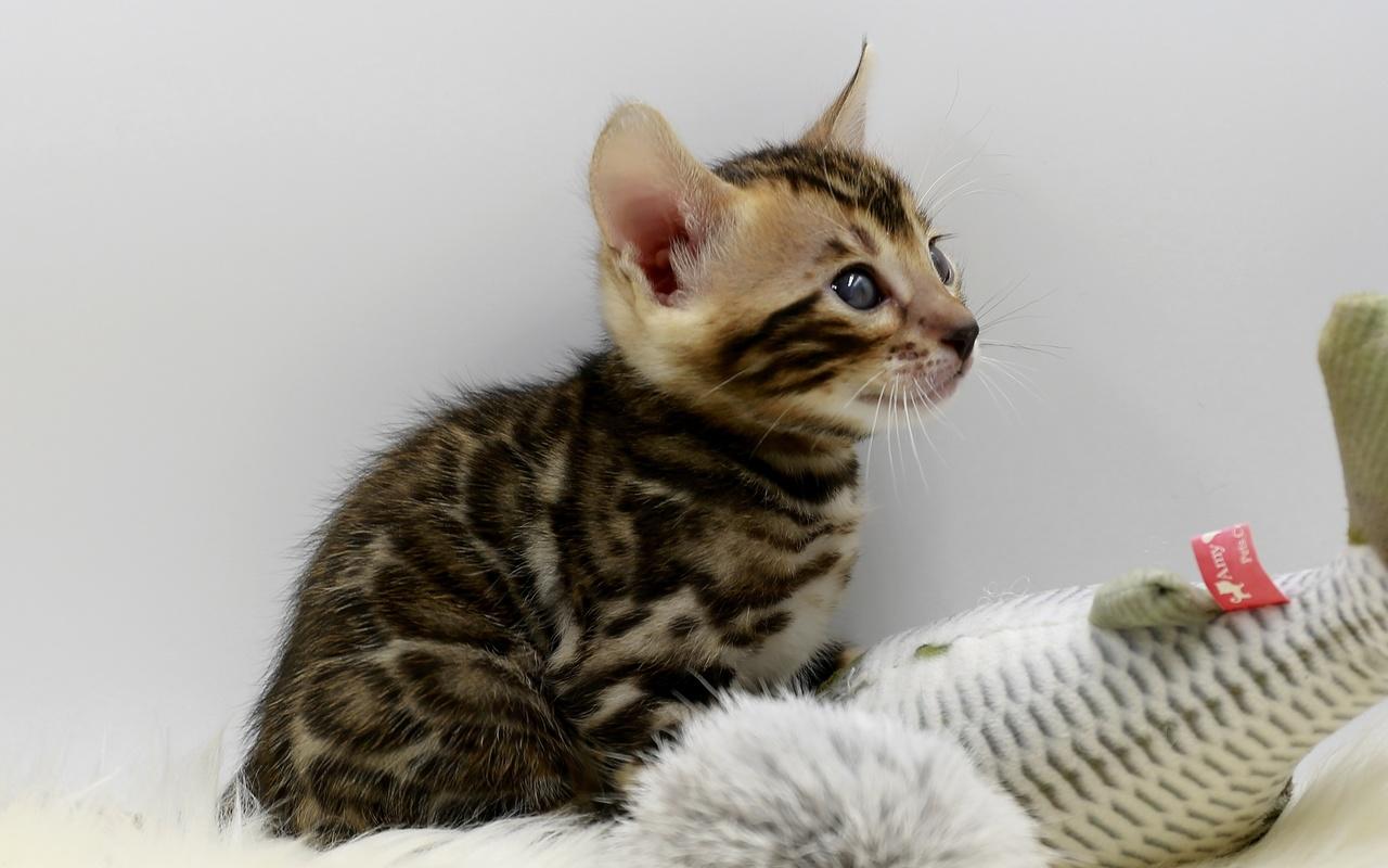 кошки, котенок, взгляд