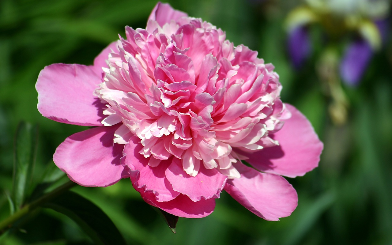пион, лепестки, розовый