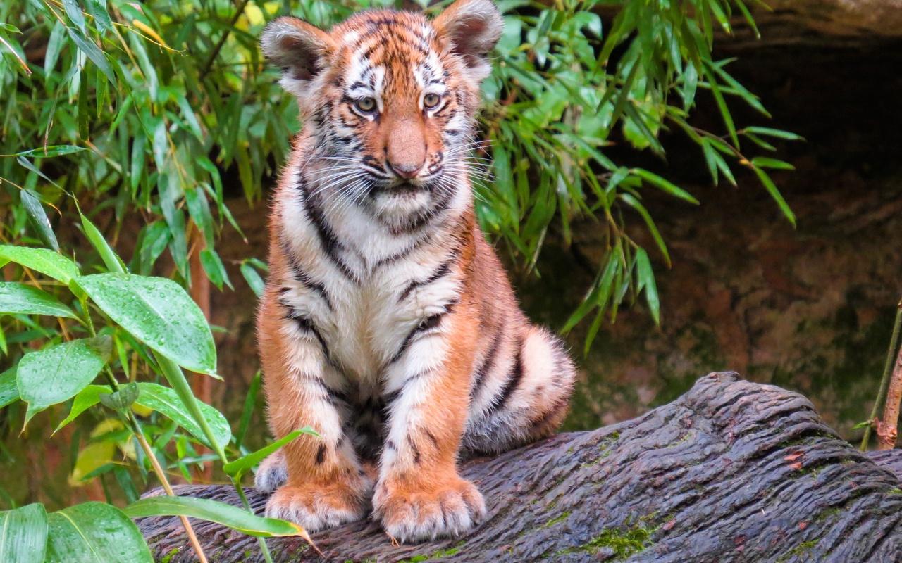тигры, тигрёнок, ветки, усы, взгляд