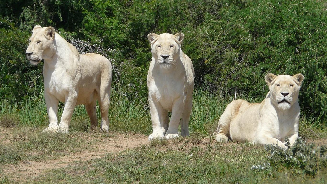 трава, львы, трое
