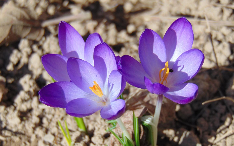 крокус, цветы, весна