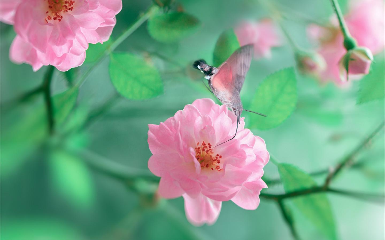 природа, макро, ветка, цветы, розы, бутоны, бабочка, бражник