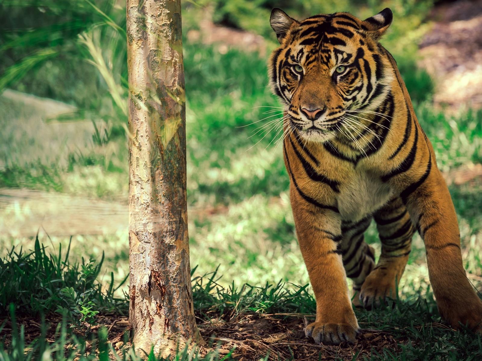 животные, тигр, в, движении, калифорния, сан-диего, сафари-парк