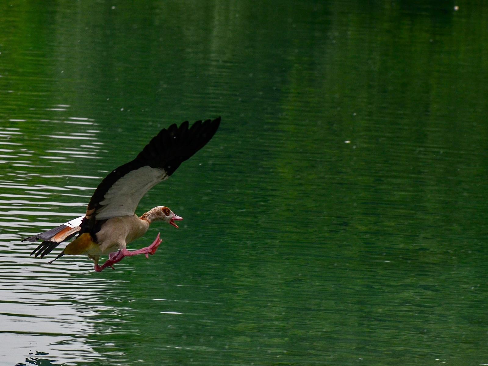 вода, утка, полёт