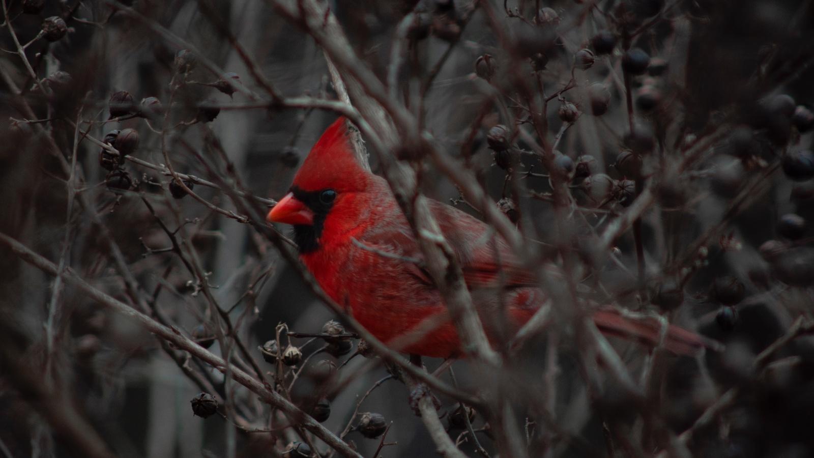 кардинал, птица, ветки, клюв, красный