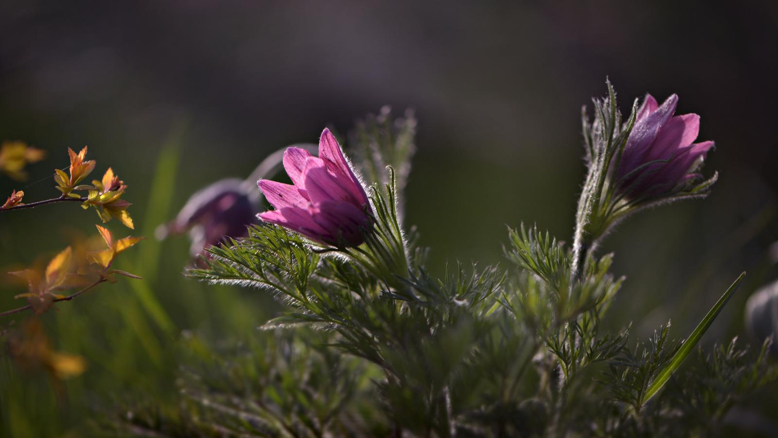 листья, макро, цветы, ветки, природа, весна, флора, сон-трава, прострел, неля рачкова