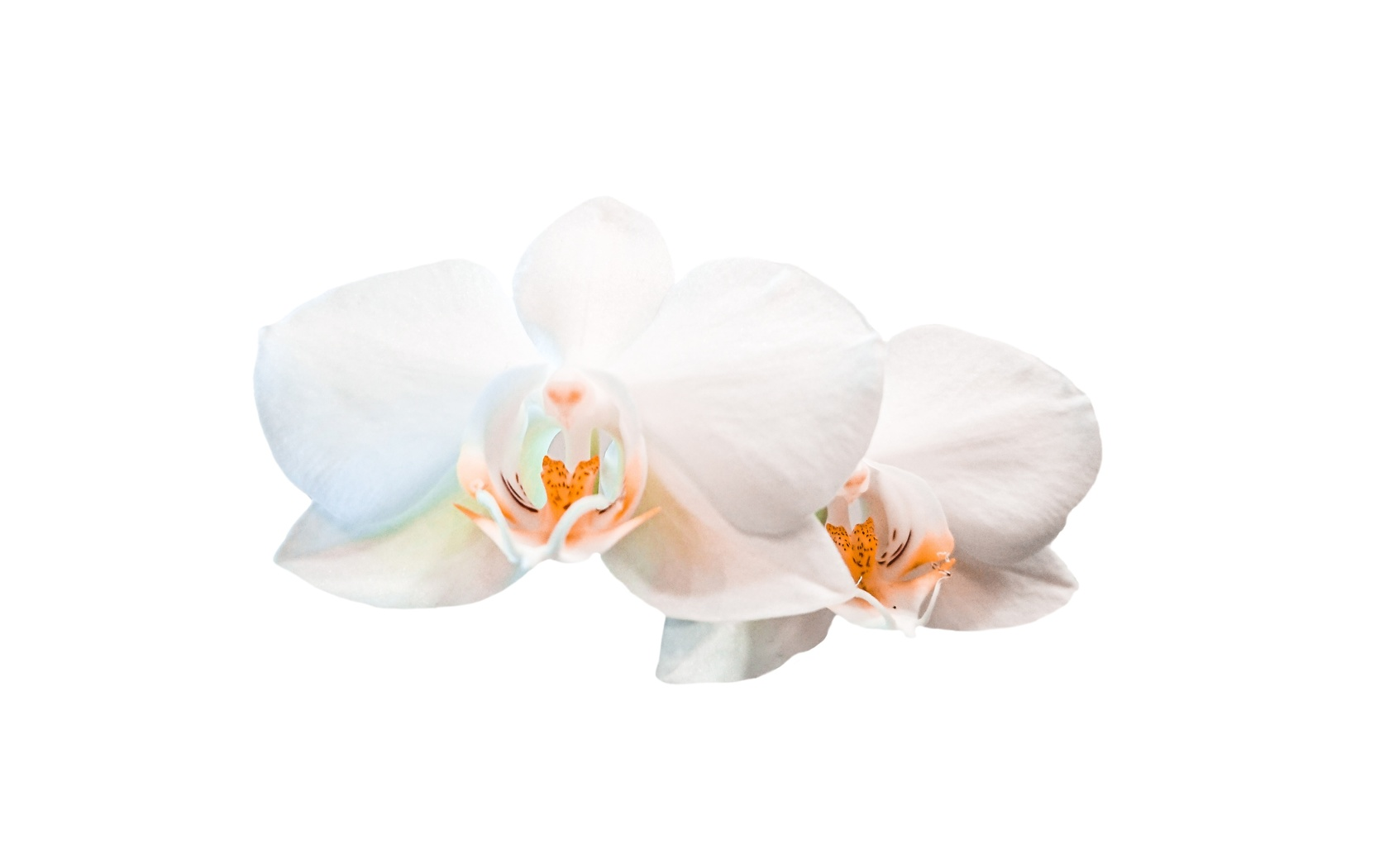 белый фон, орхидеи, цветы