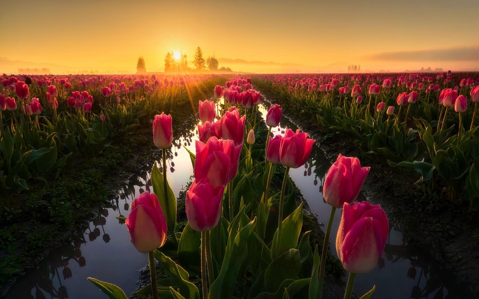 природа, грядки, цветы, тюльпаны, весна, утро, солнце, лучи
