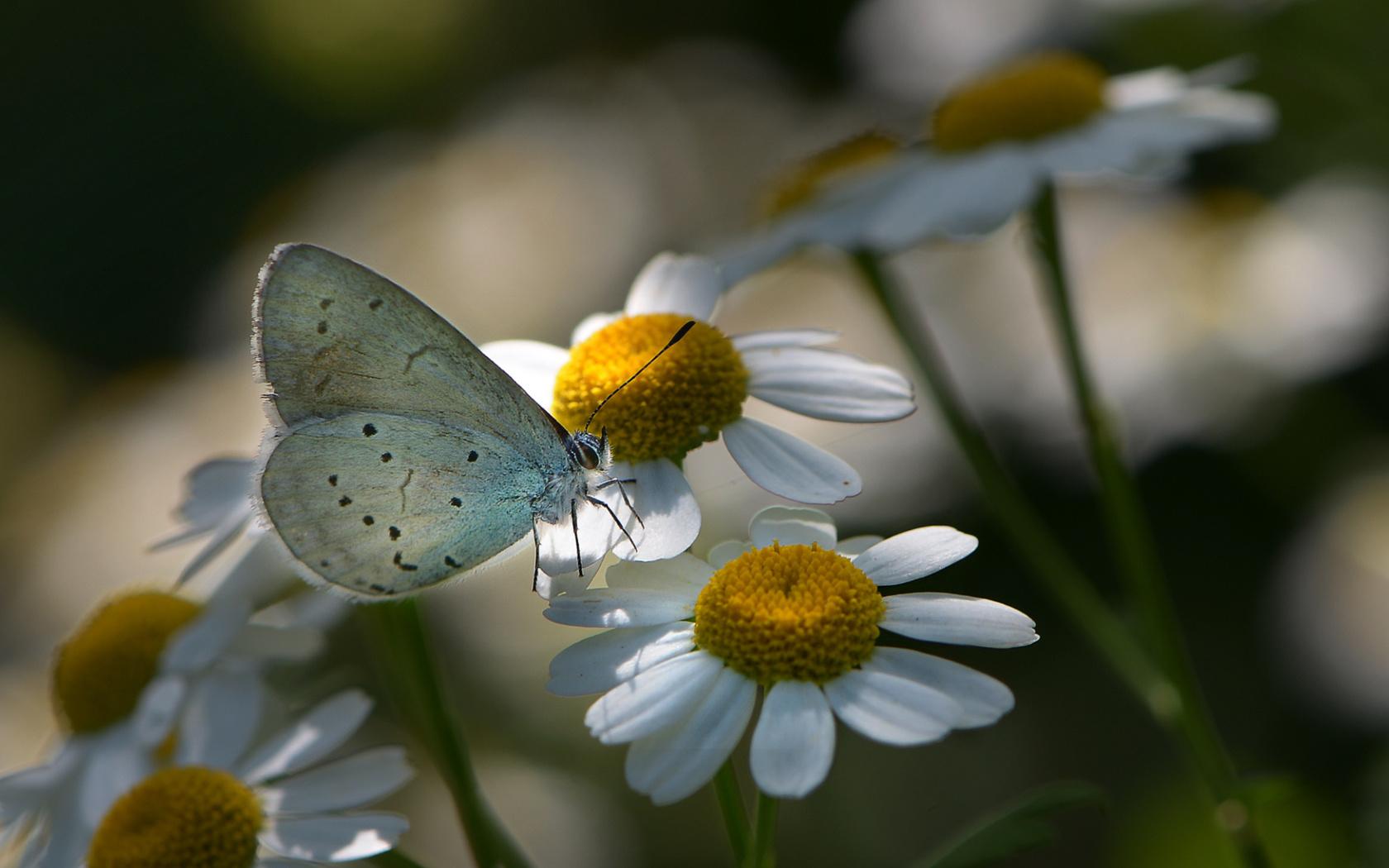 макро, цветы, природа, бабочка, ромашки, насекомое, флора, неля рачкова