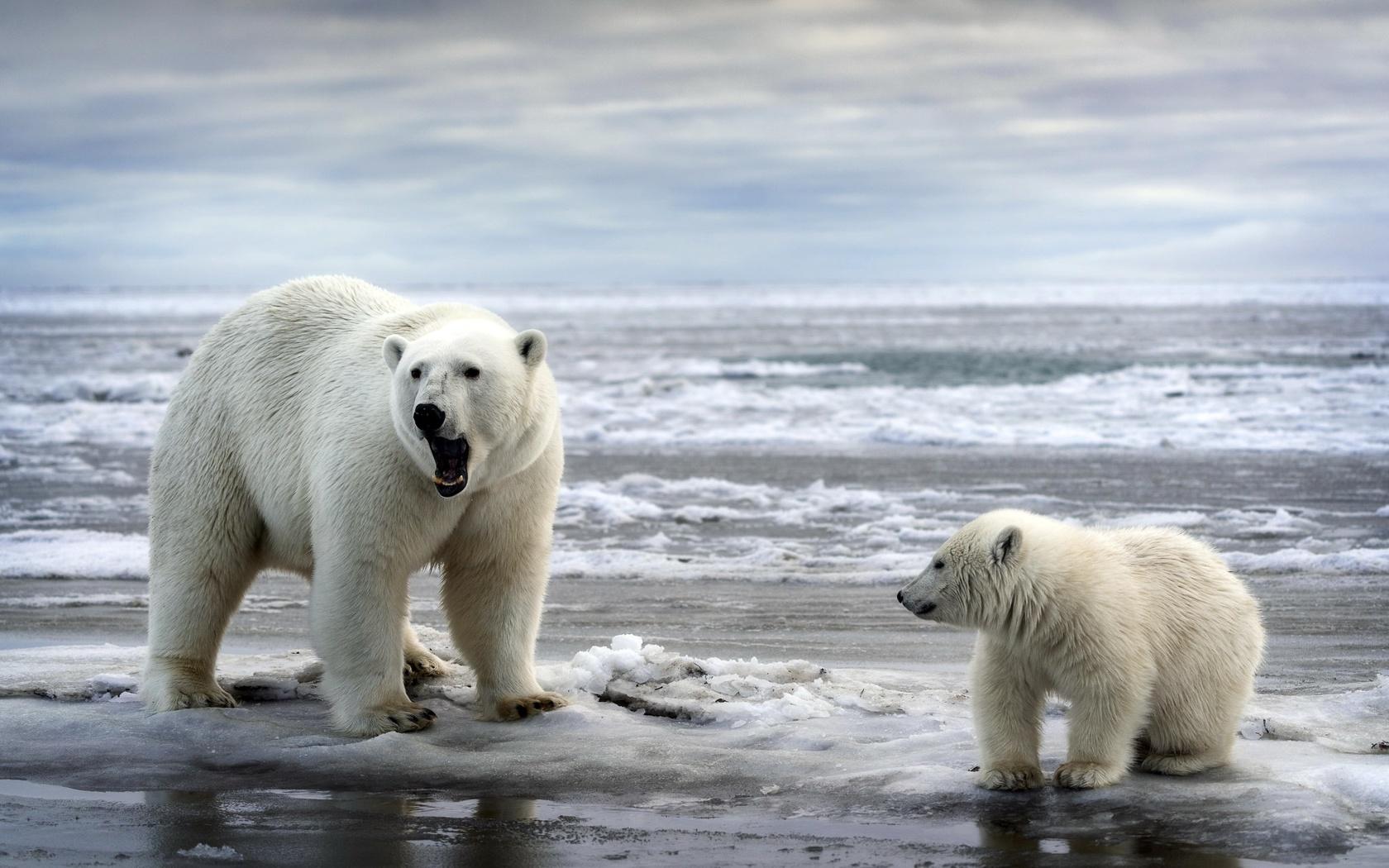 животные, хищники, белые медведи, медведица, медвежонок, детёныш, вода, снег