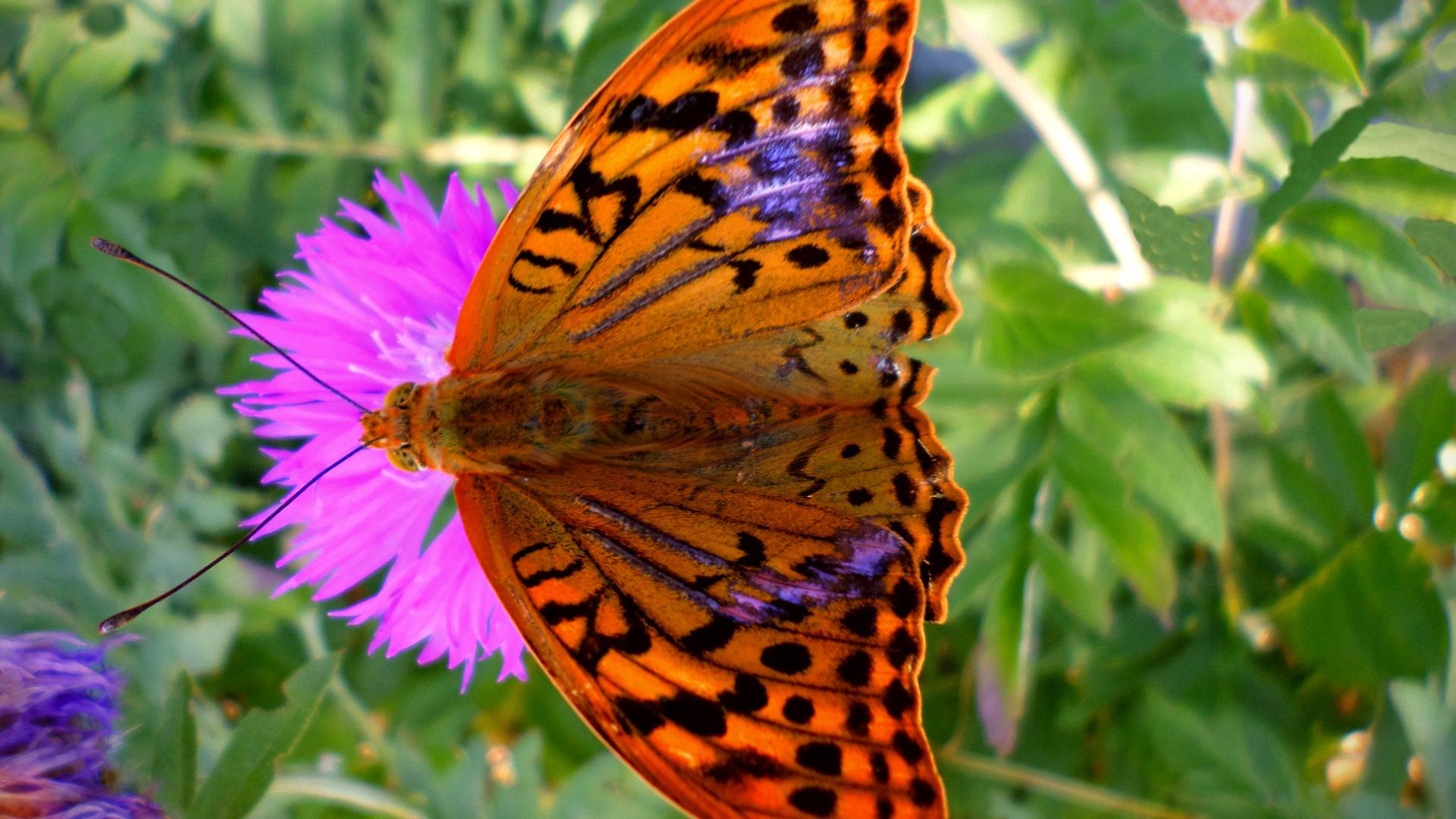 бабочка, день, август