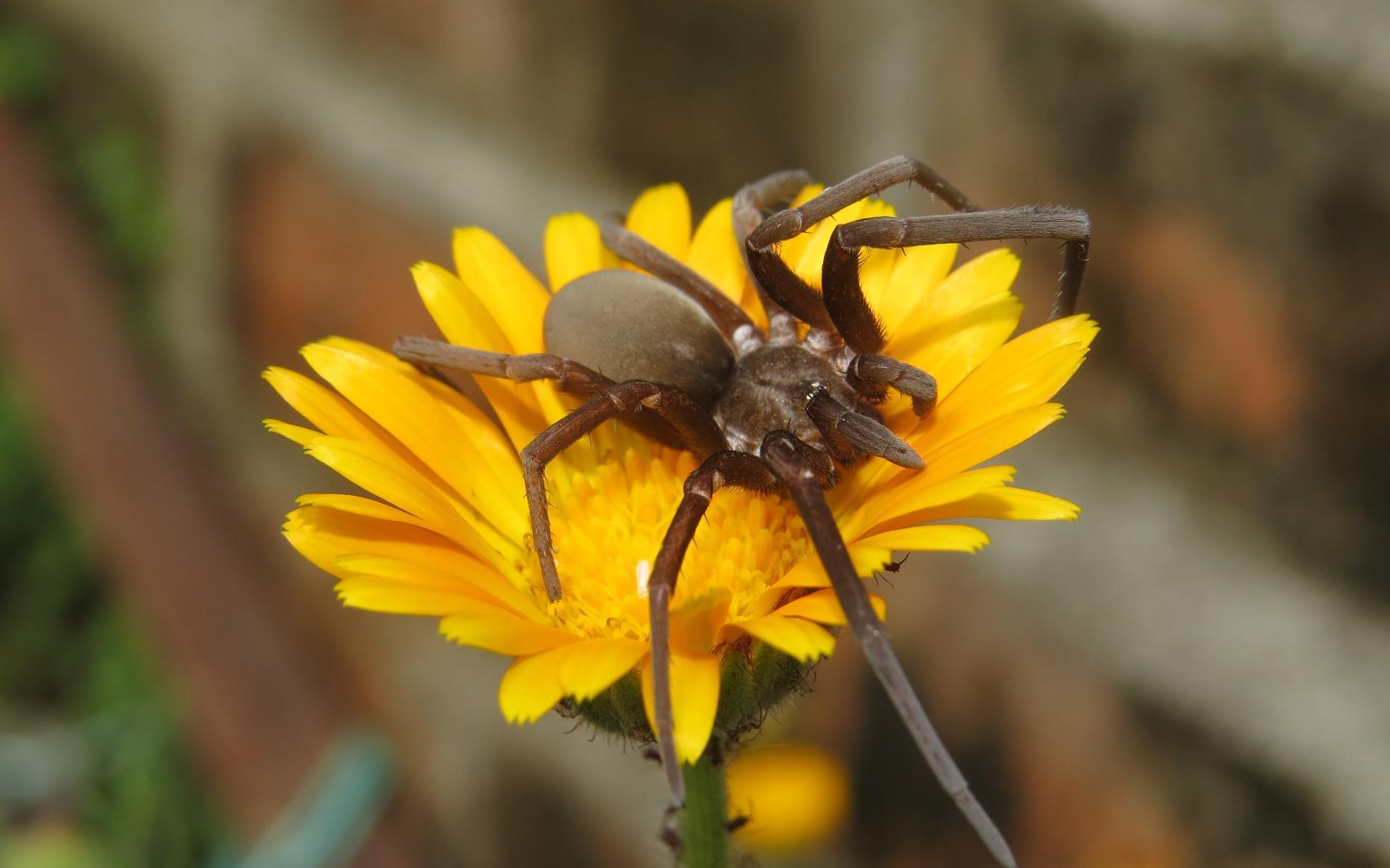 цветы, паук, насекомое, крупный план