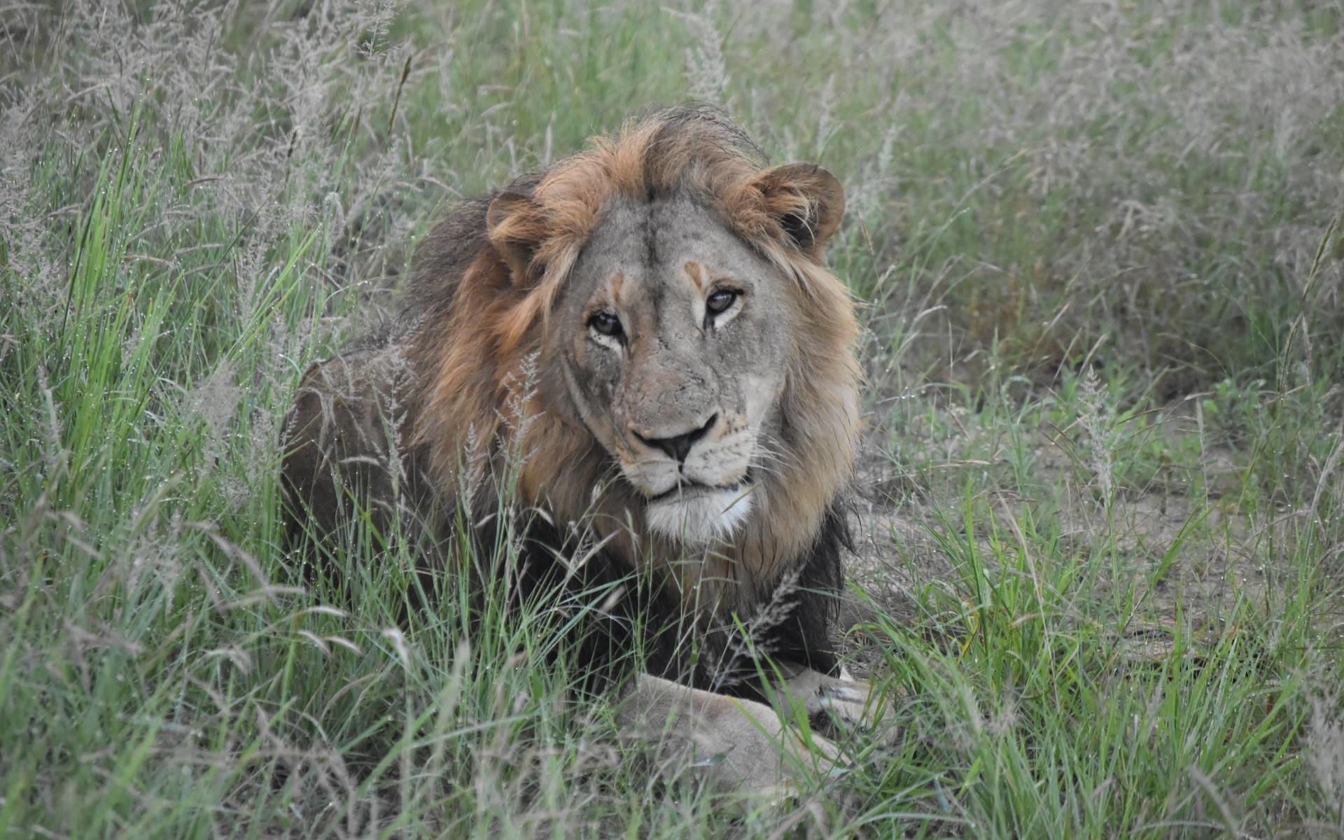 африка, трава, взгляд, лев