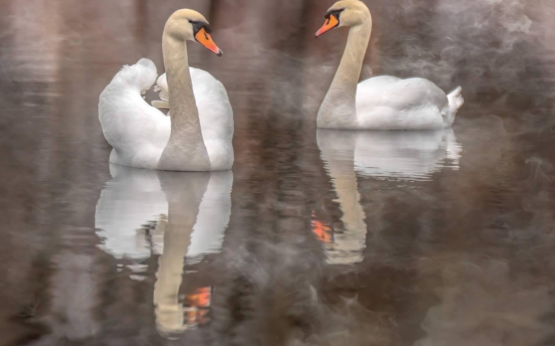 лебеди, птицы мира