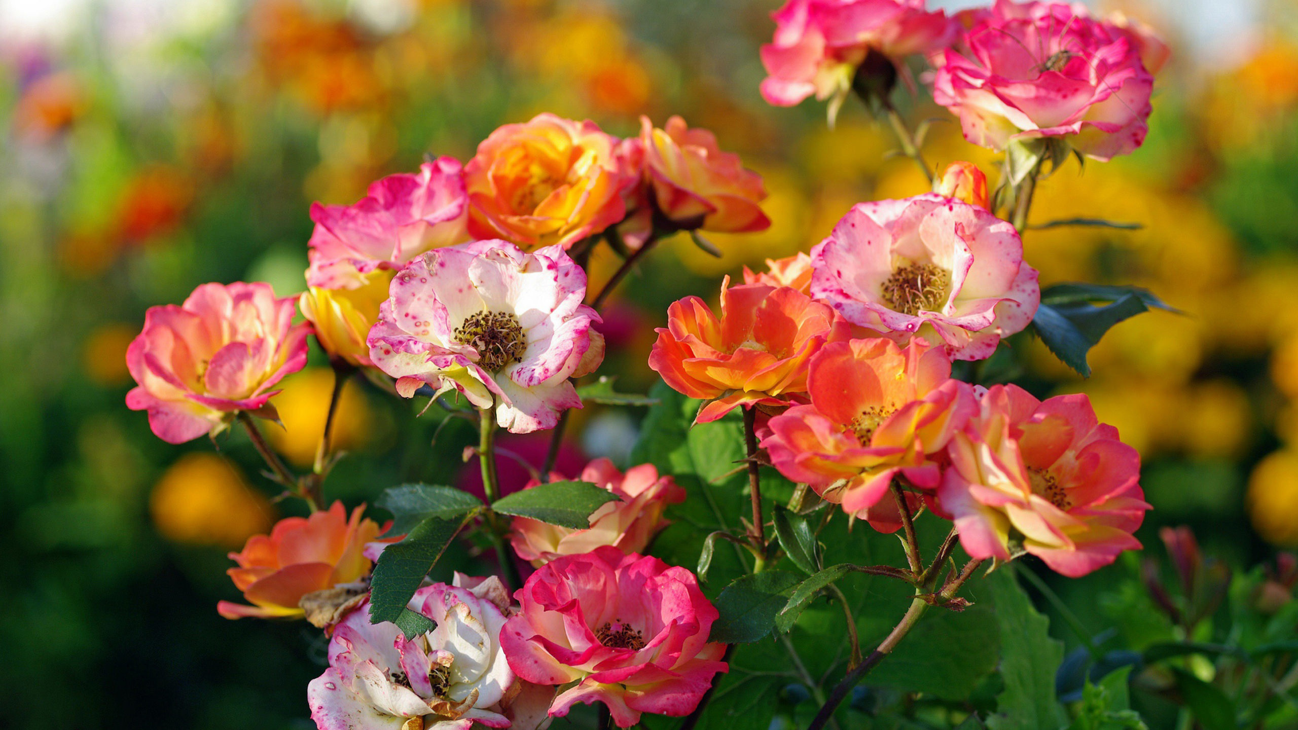 roses, pink, white, orange