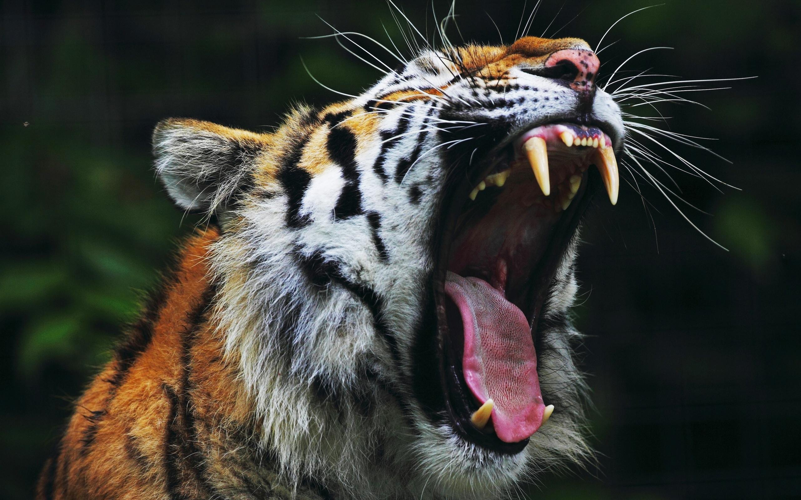 Для, картинки с тиграми