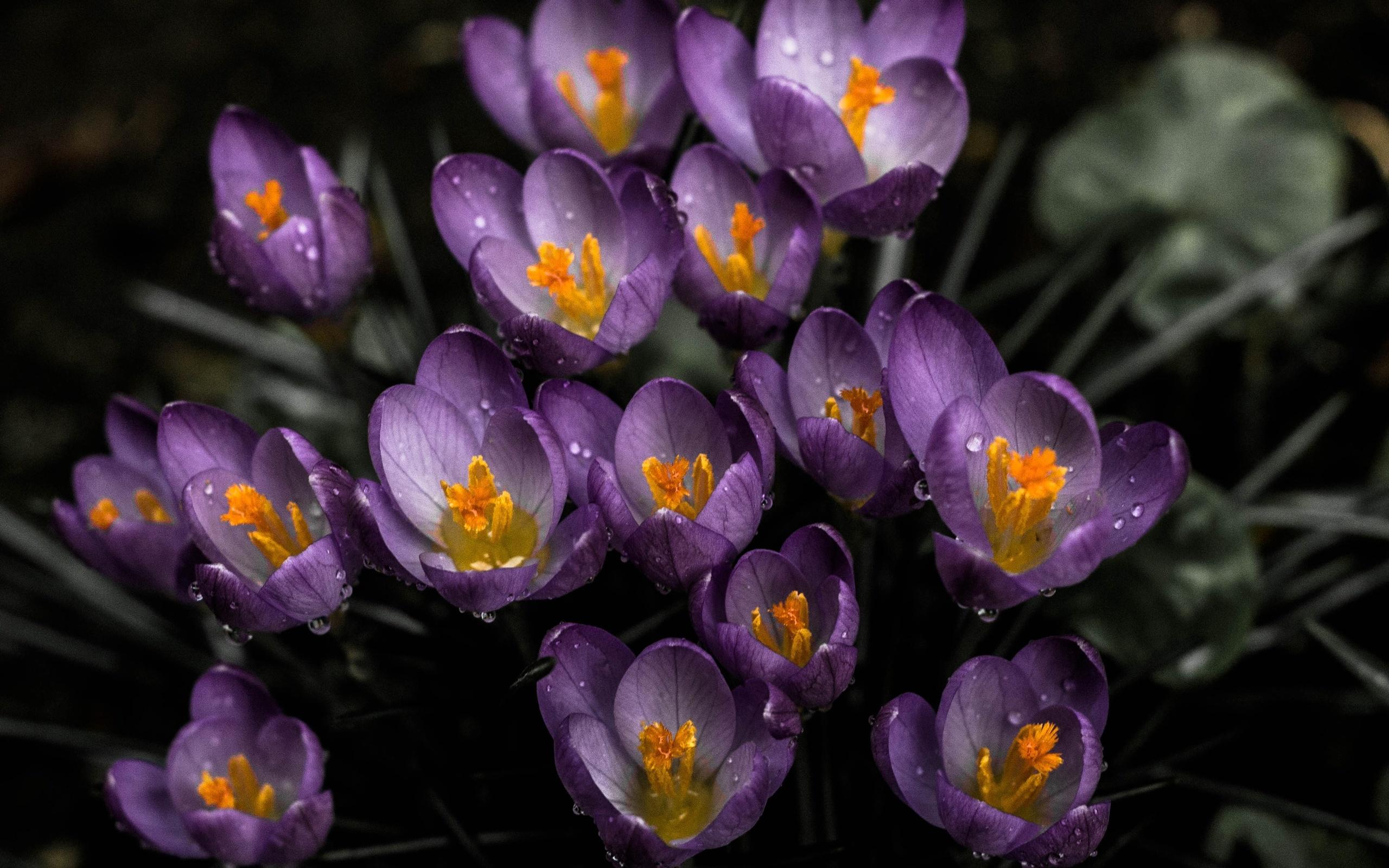 фото цветов подснежника крокуса мир вращался, богатые