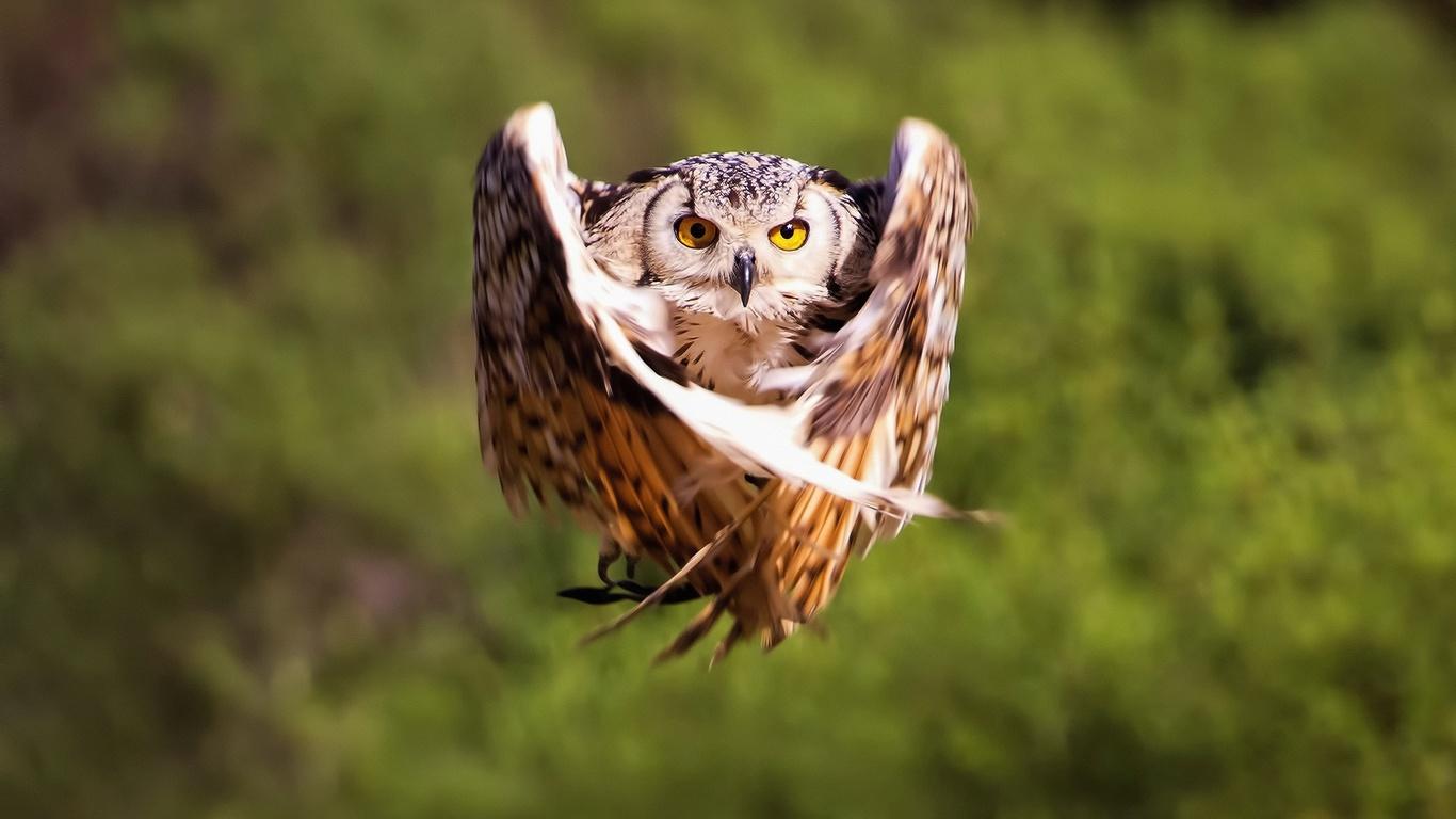 сова, полет, крылья, момент