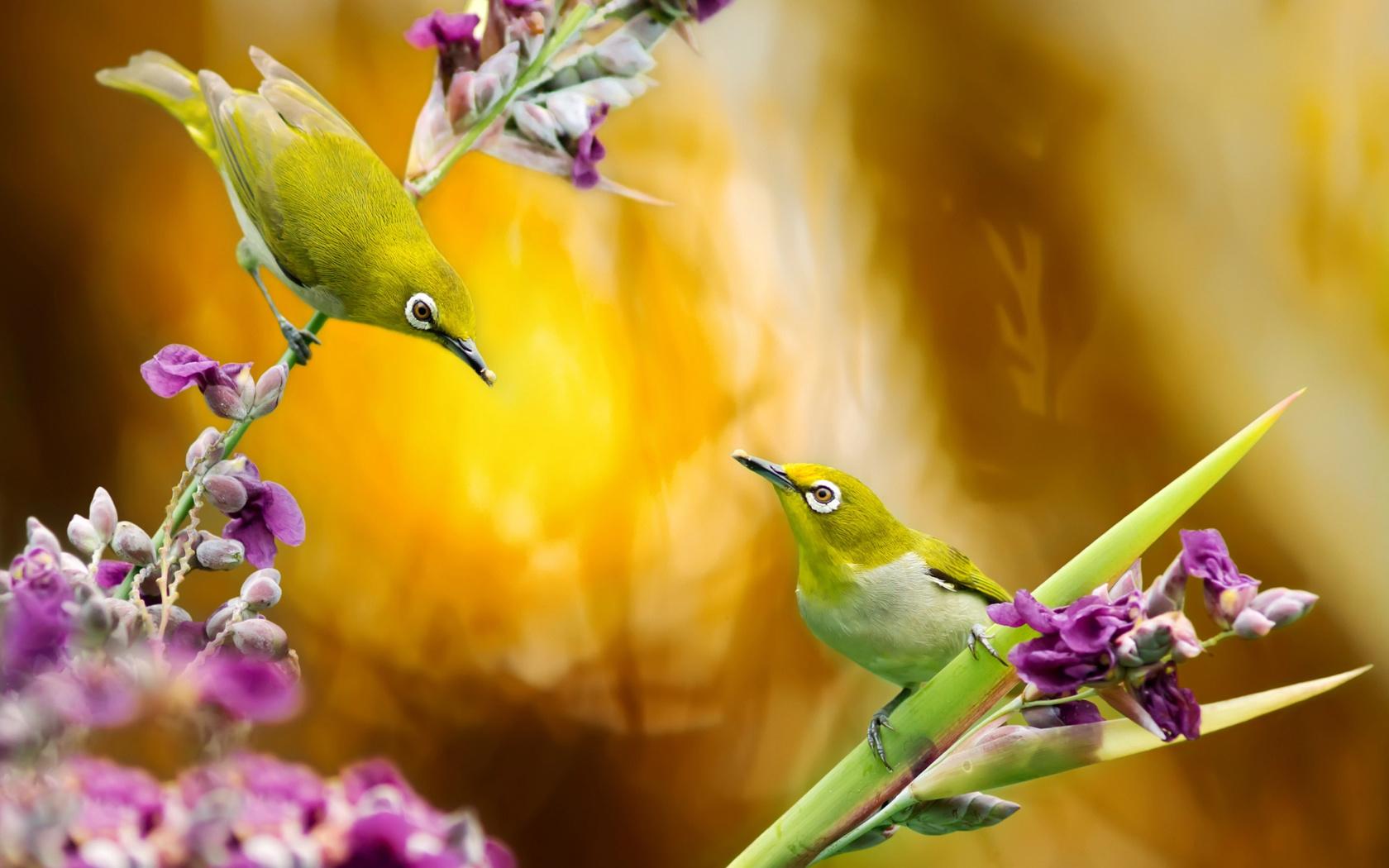 цветы, птицы, птицы мира, природа, пара, тайвань, белоглазка, fuyi chen, белый глаз