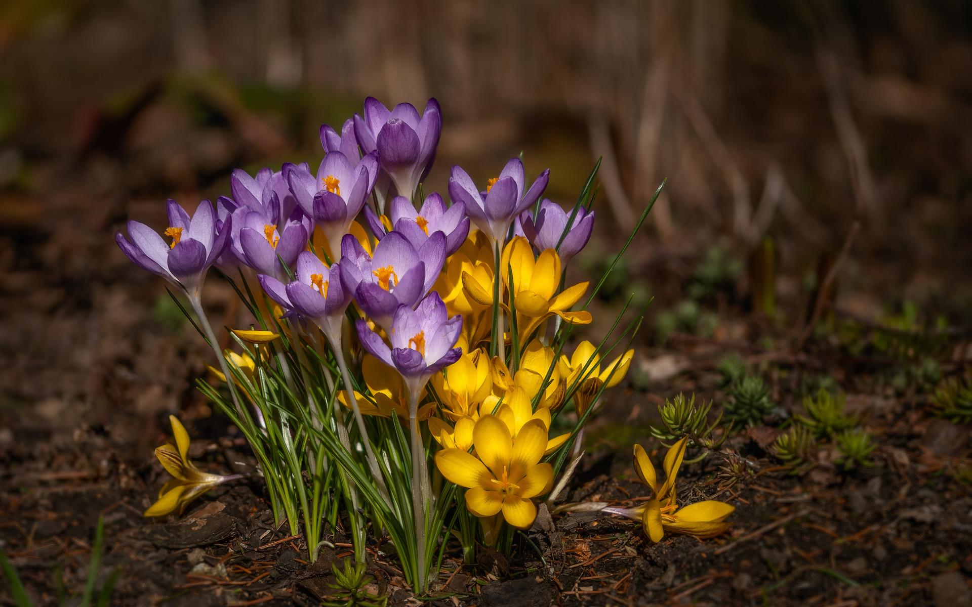krokus, crocus, крокус, крокусы, весна, цветение, цветы, флора