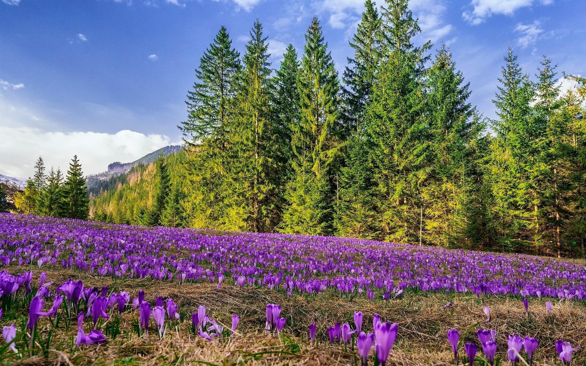 природа, пейзаж, весна, деревья, ели, поляна, цветы, крокусы