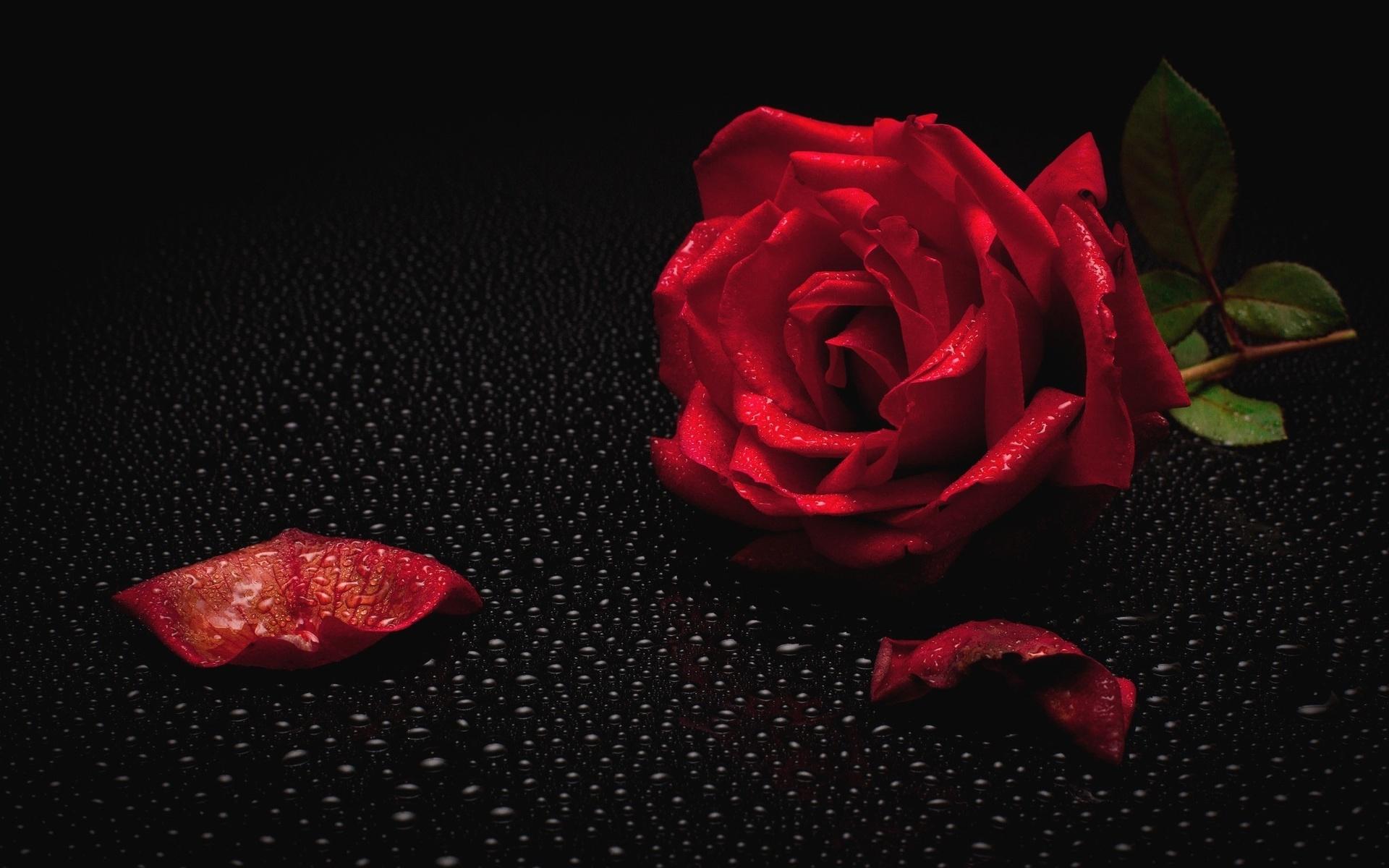 Открытка темные розы
