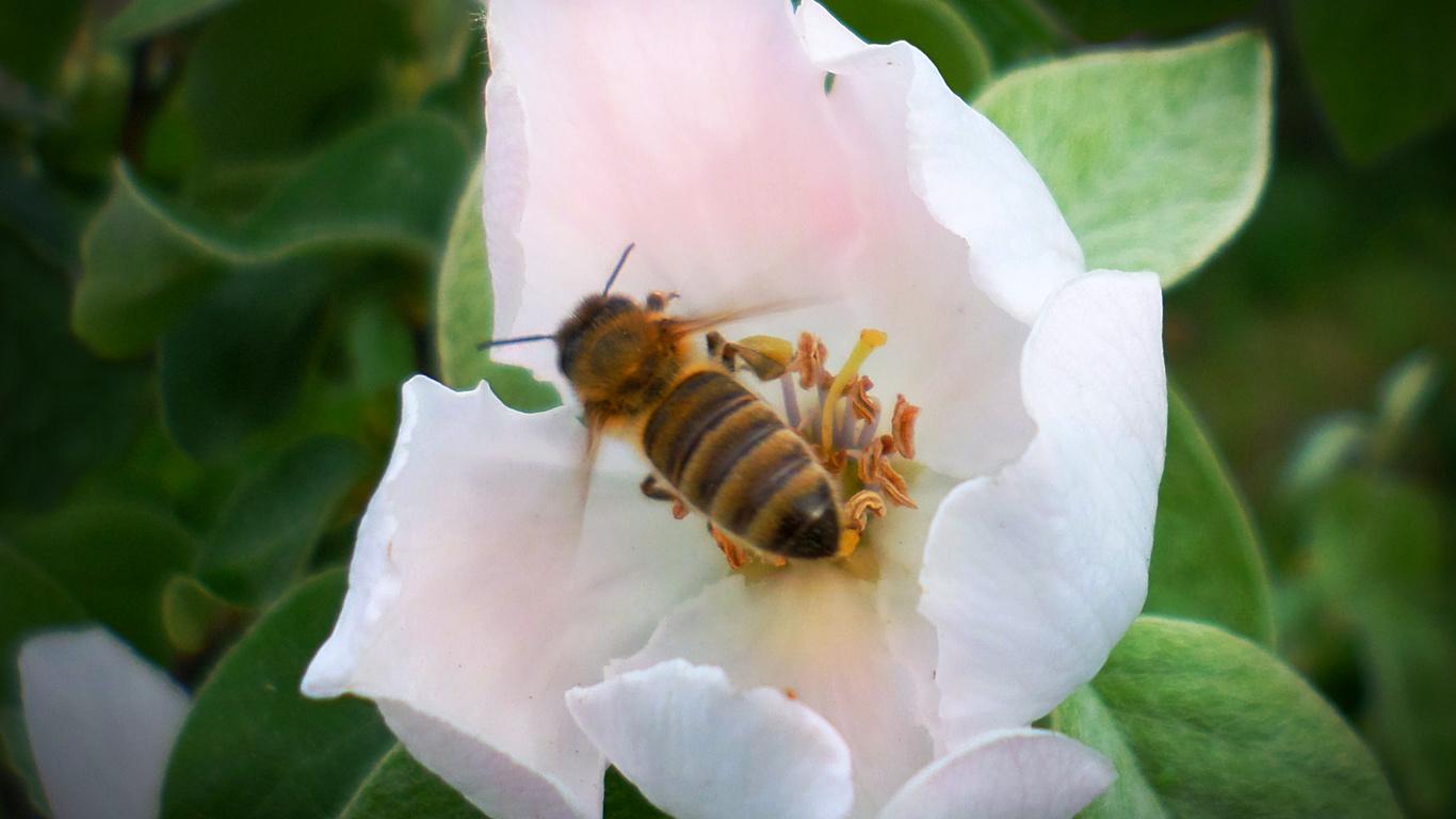 пчела, май, айва