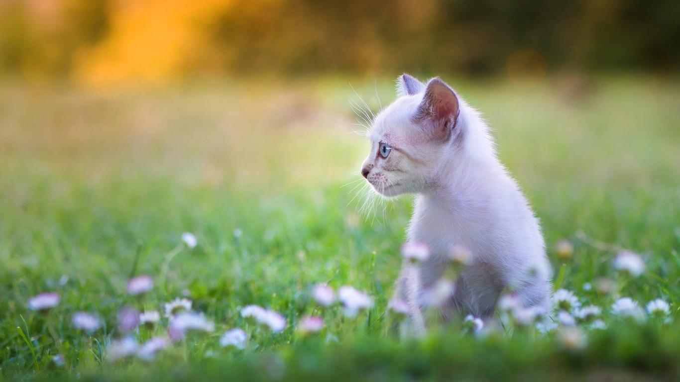 животное, котёнок, детёныш, профиль, природа, лето, лужайка, трава, цветы, маргаритки