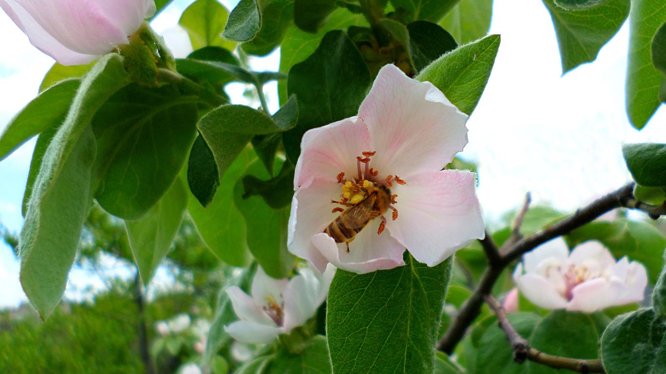 пчела, айва, май