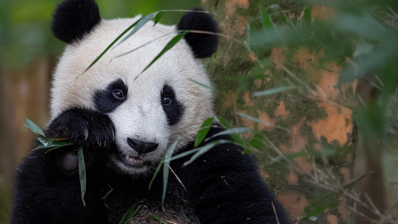 животное, панда