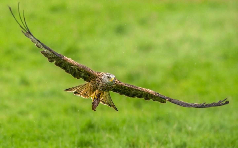 полет, крылья, хищник, птица, коршун, красный коршун