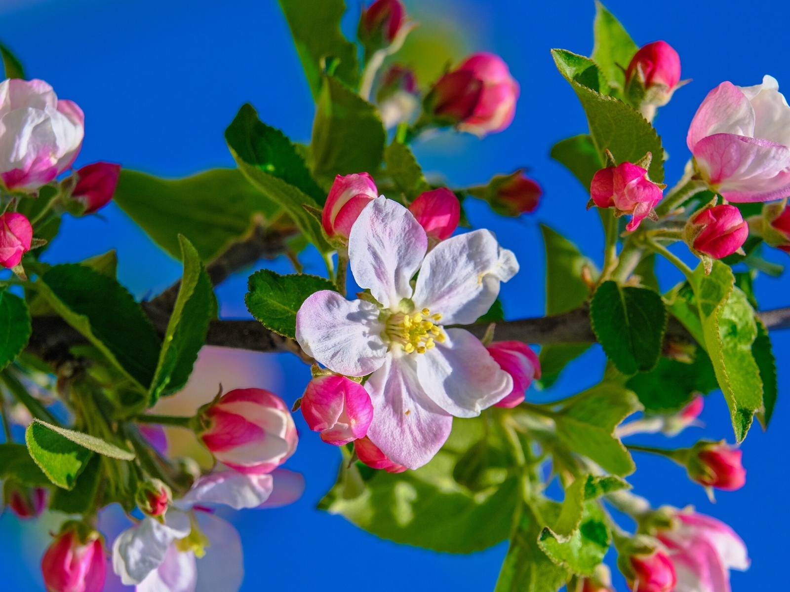 природа, весна, ветка, яблоня, цветение, небо