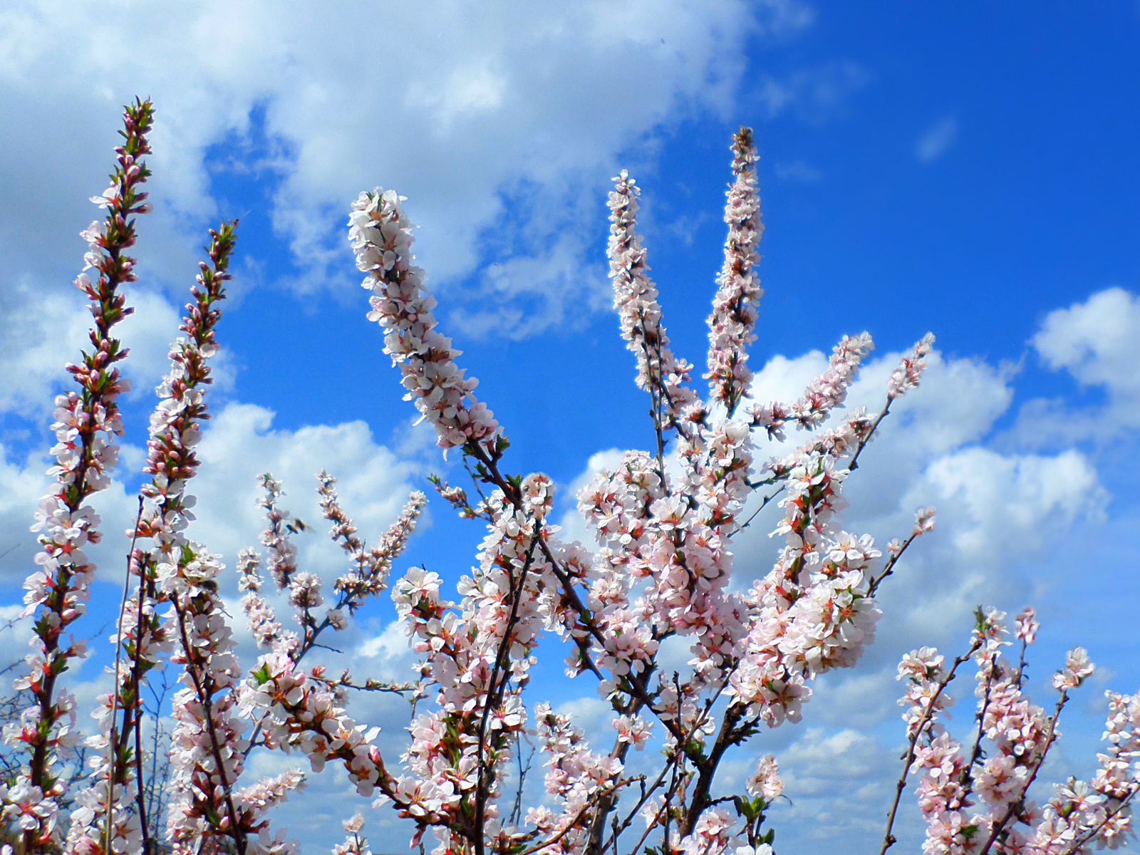 небо, облака, китайская, вишня, май